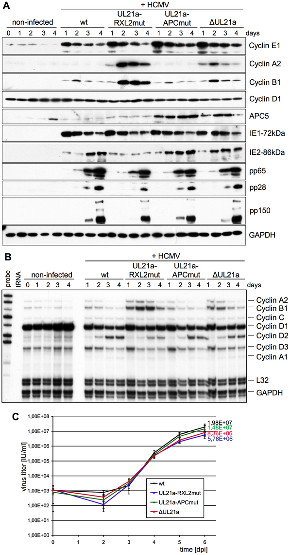 The pUL21a-RXL/Cy motif is required for Cyclin A2 repression by HCMV.
