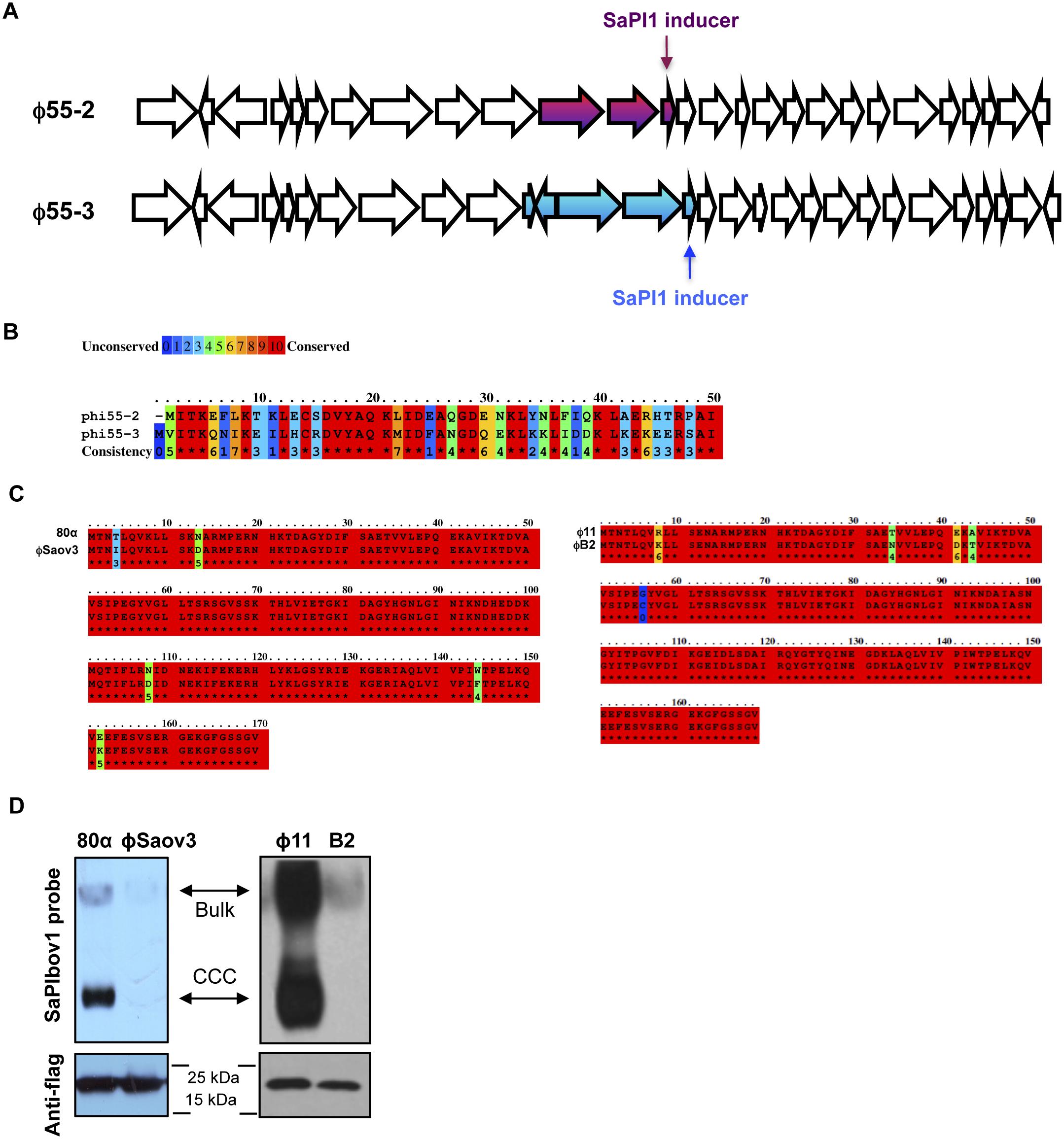 Coevolved SaPIs block phage reproduction.