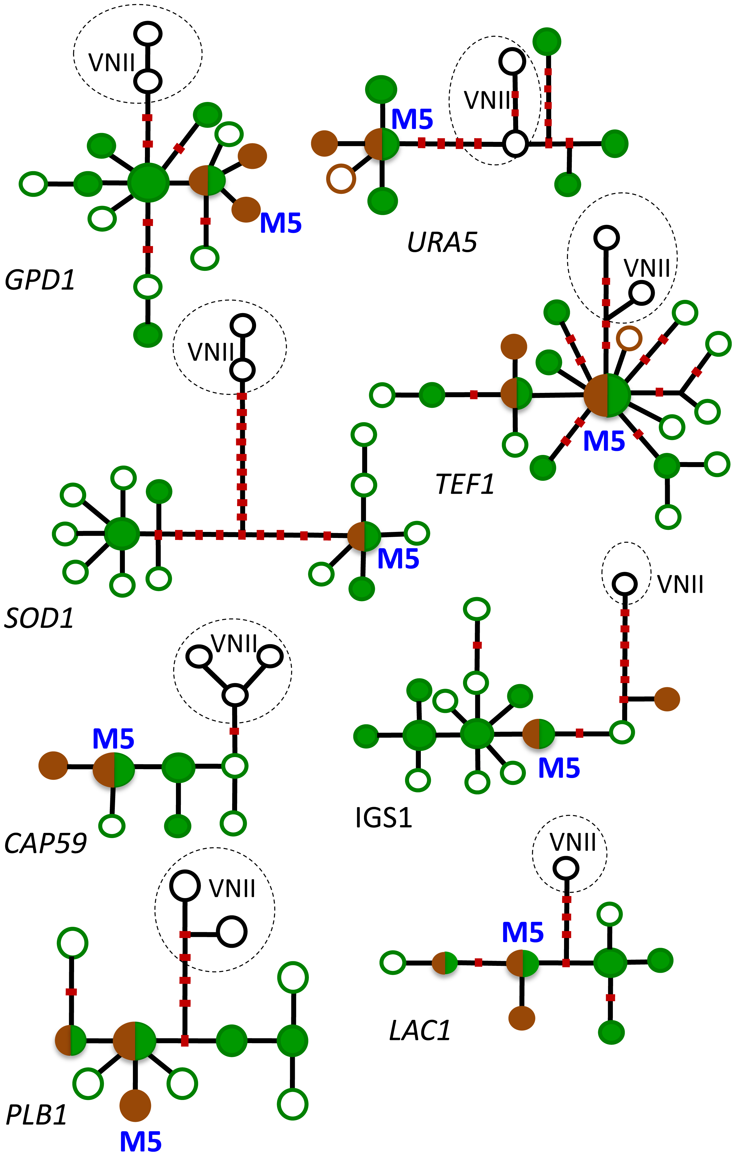 Haplotype networks of the eight MLST loci.