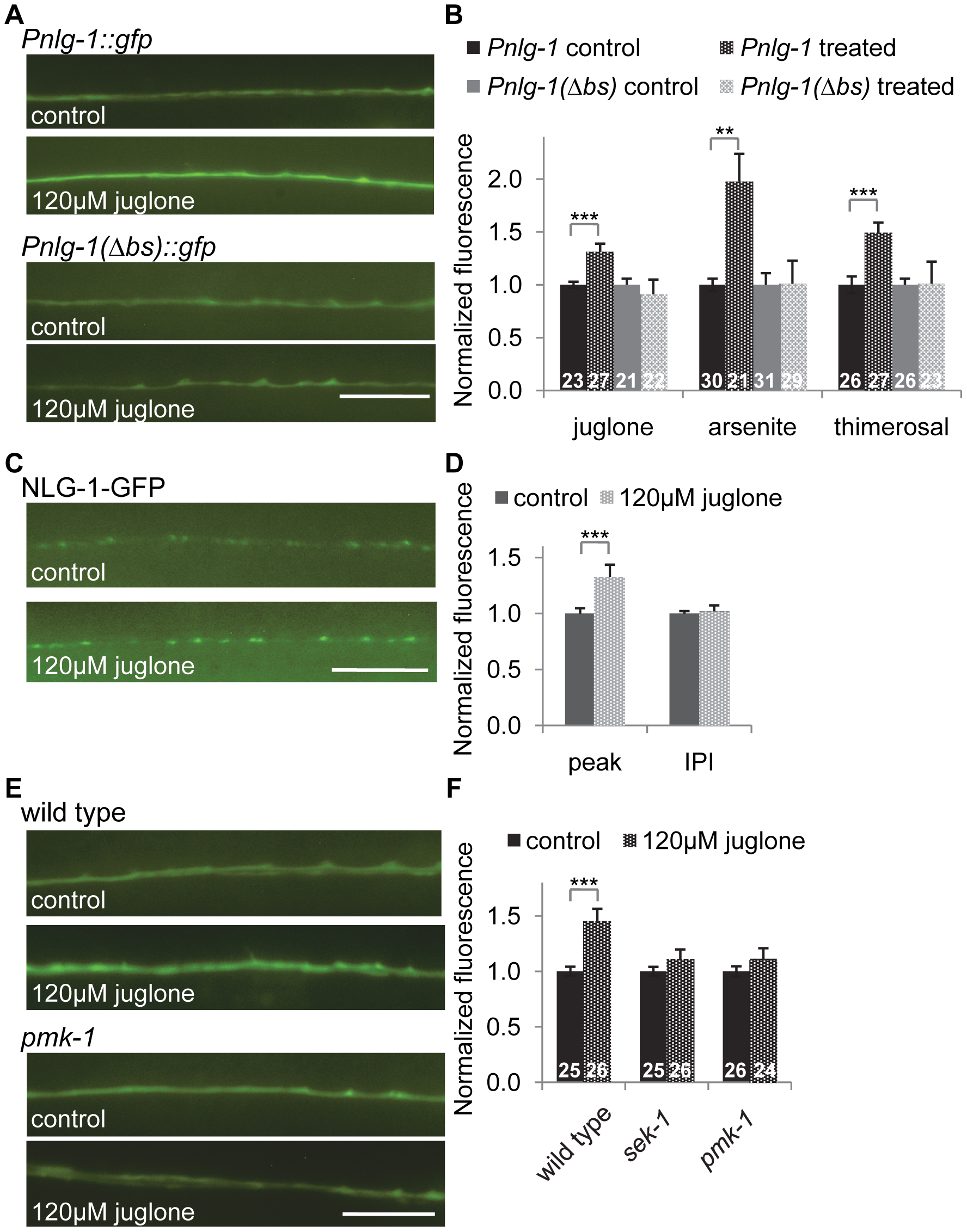 <i>nlg-1</i> transcription is regulated by the SKN-1 pathway.