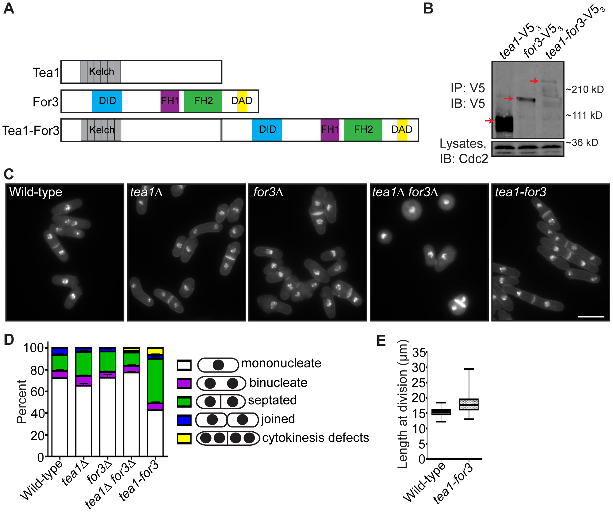 An endogenous Tea1-For3 fusion protein is functional but impinges on the cell division machinery.