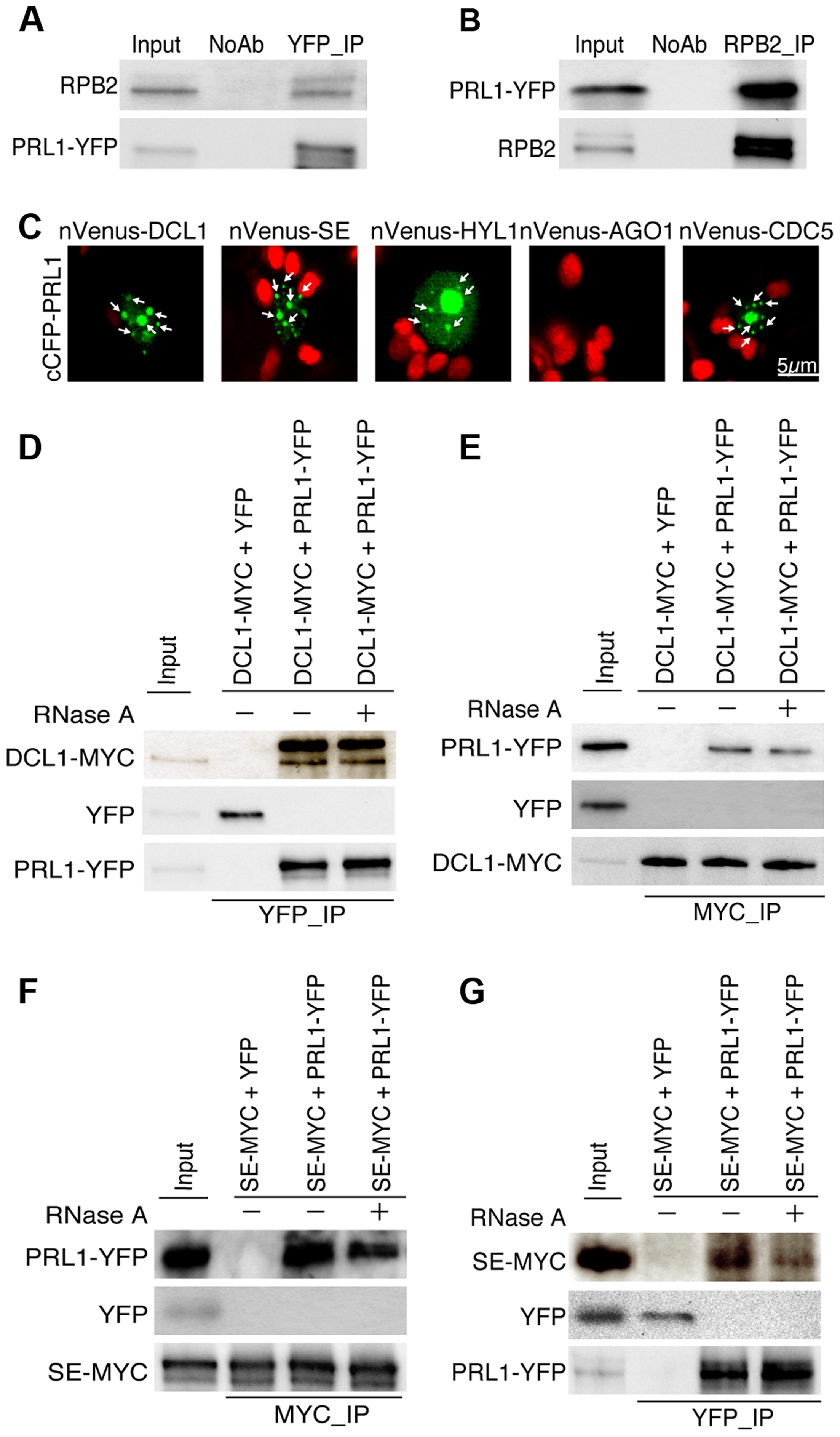 PRL1 associates with the Pol II and DCL1 complexes.