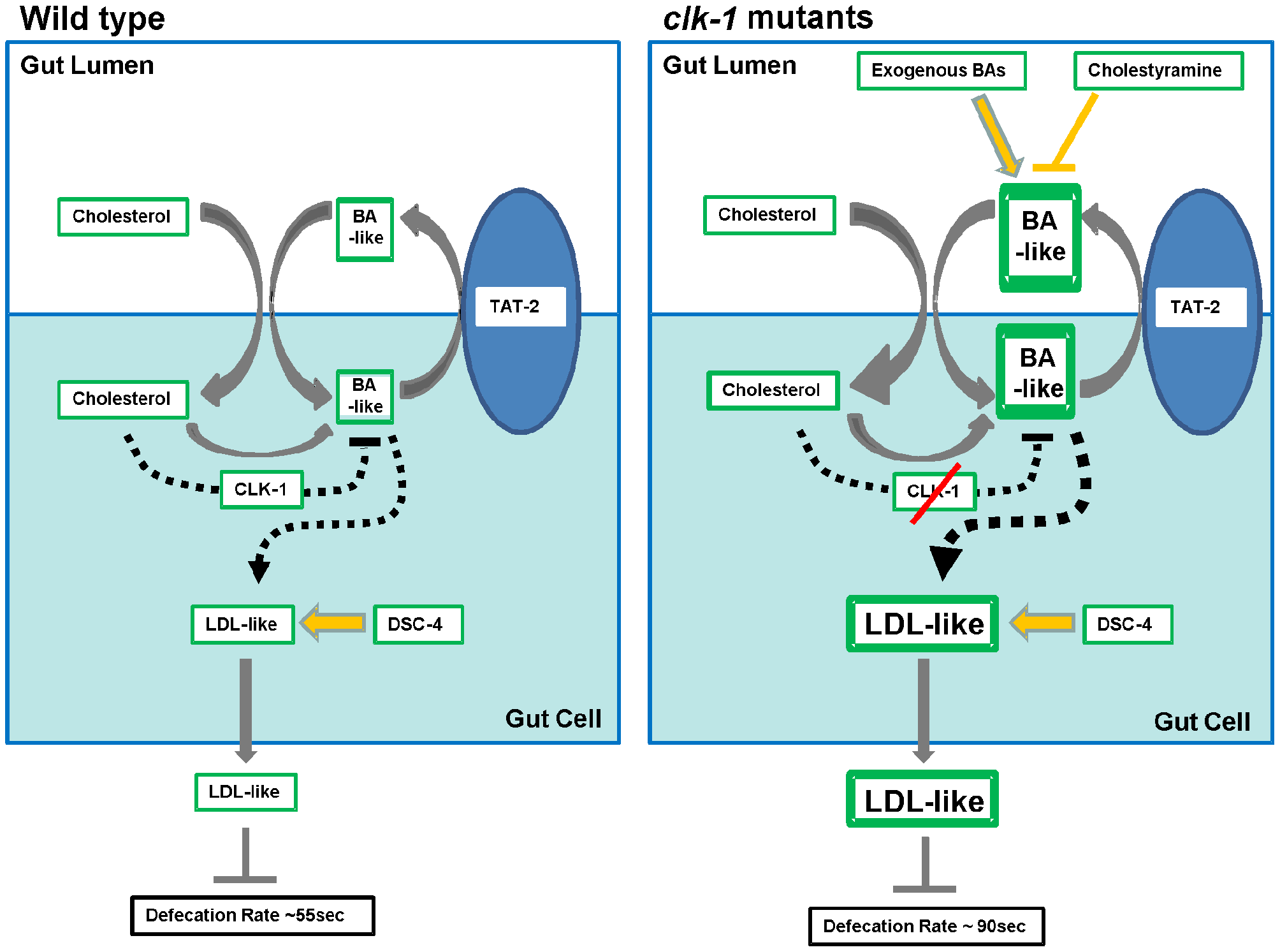 Schematic representation of the biosynthetic and regulatory interactions relating cholesterol uptake and bile acid (BA) biosynthesis and secretion to the biosynthesis and secretion of LDL-like lipoproteins.