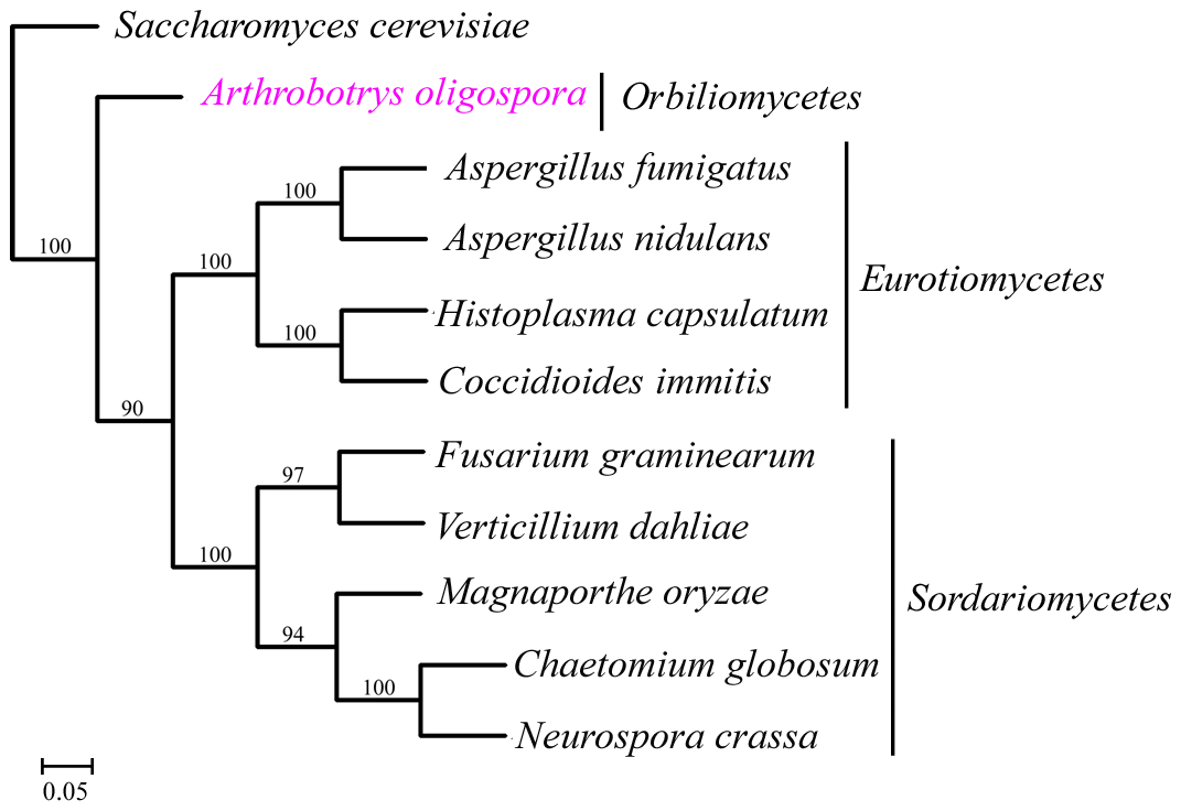 The phylogenomic tree was constructed based on orthologous proteins from 11 fungal genomes using Maximum likelihood method.
