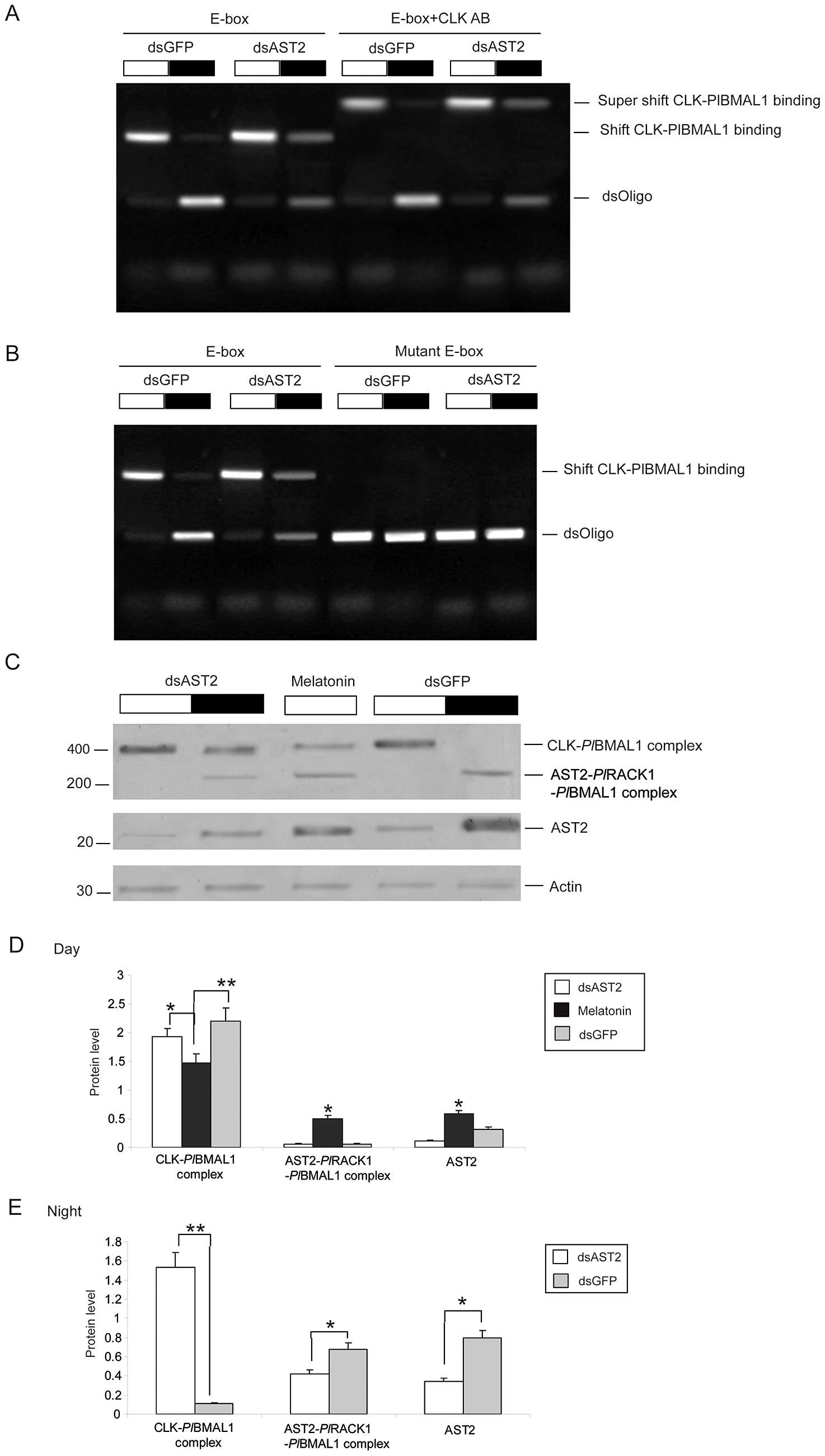 AST2 knockdown enhanced the DNA binding activity of CLK/<i>Pl</i>BMAL1.