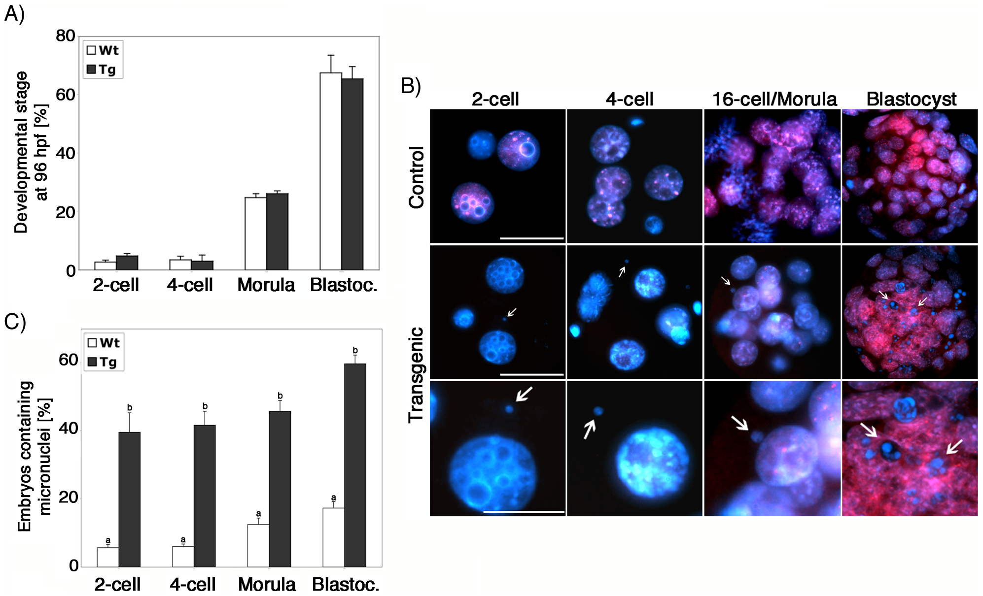 Lack of ATRX function during oogenesis results in severe genomic instability in the pre-implantation embryo.
