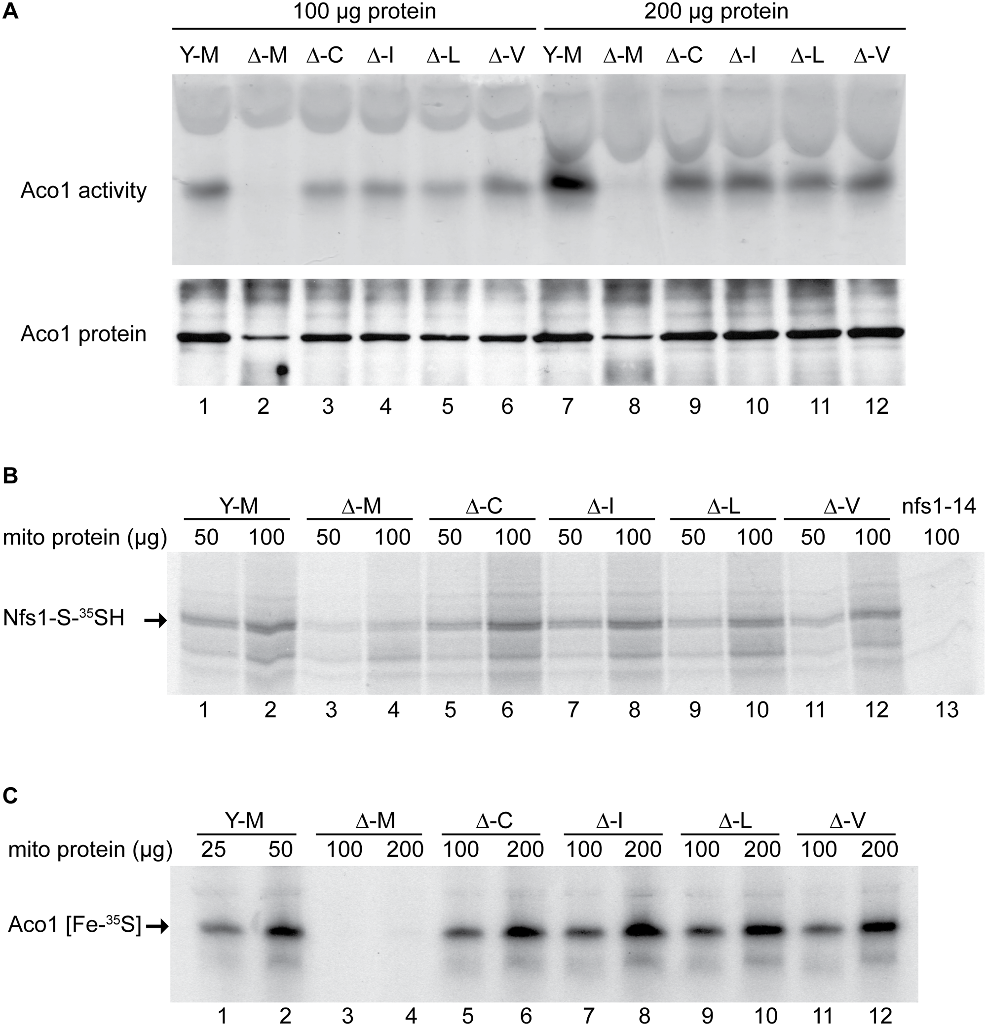 Assessment of Fe-S cluster assembly in mitochondria isolated from frataxin-bypass mutants.