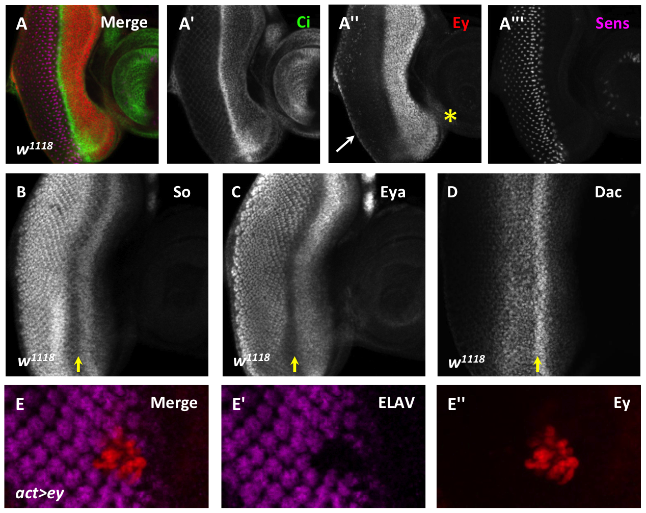 Ey repression at the morphogenetic furrow is necessary for differentiation.