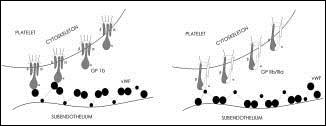 Interakce destickových glykoproteinu s von Willebrandovým faktorem z extralelulární matrix, volne podle [1].