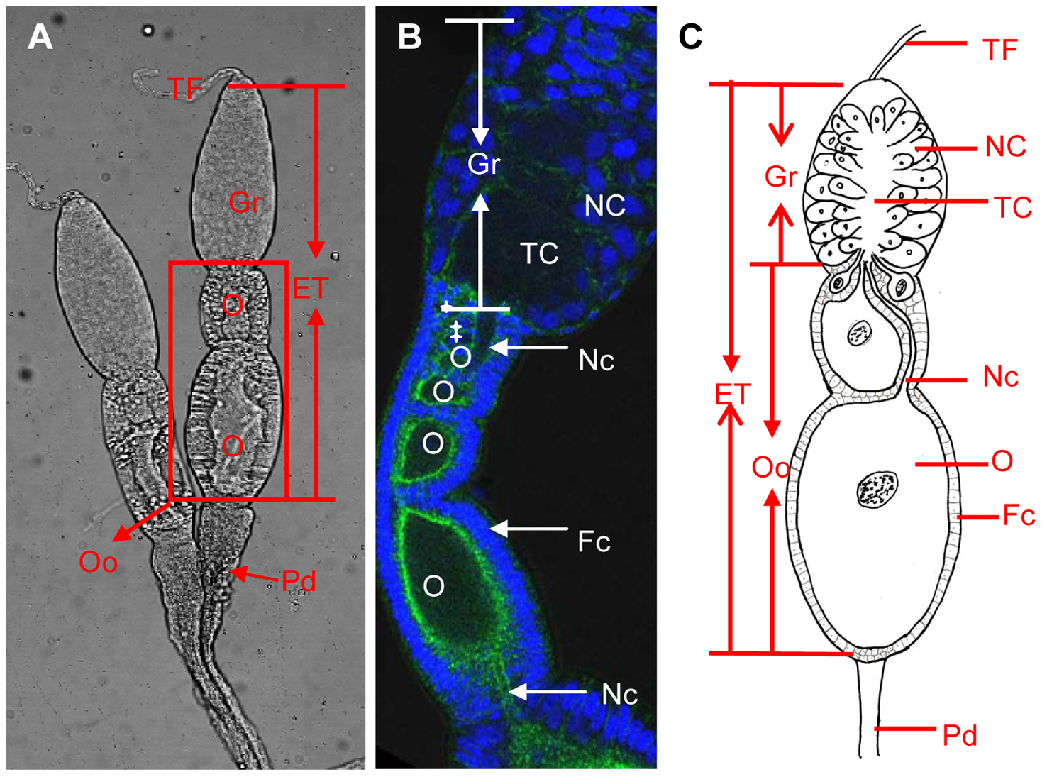 Ovary structure of <i>Laodelphax striatellus</i>.