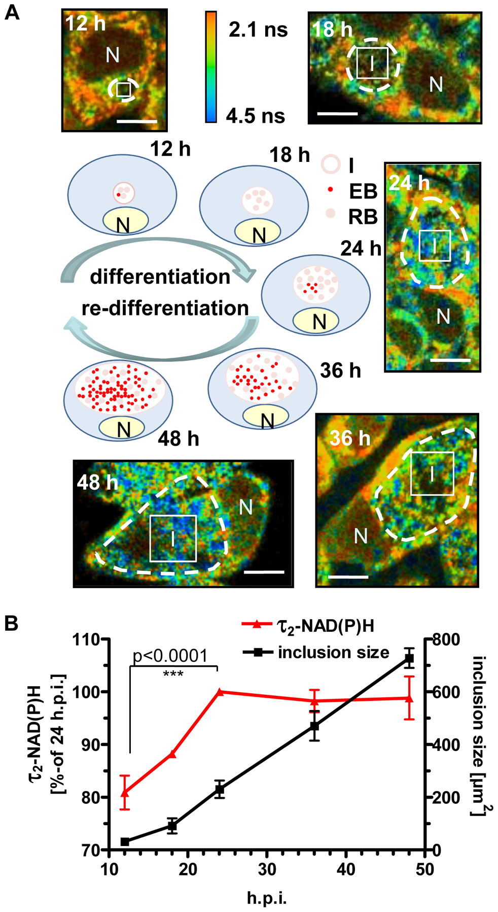 Changes of τ<sub>2</sub>-NAD(P)H inside the chlamydial inclusions during the intracellular developmental cycle.