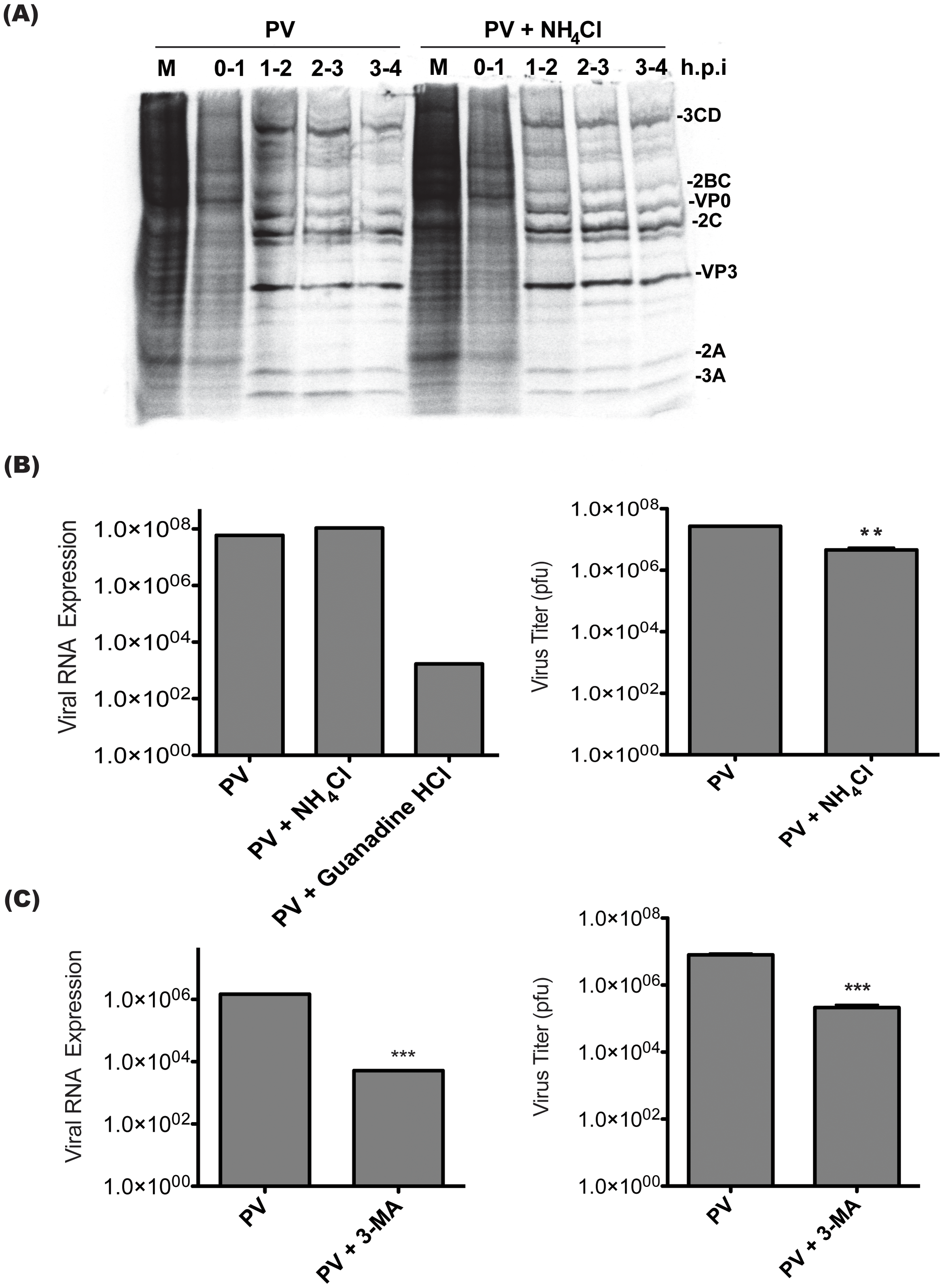 Poliovirus entry, translation, and RNA replication are unaffected by treatment with inhibitors of vesicle acidification.