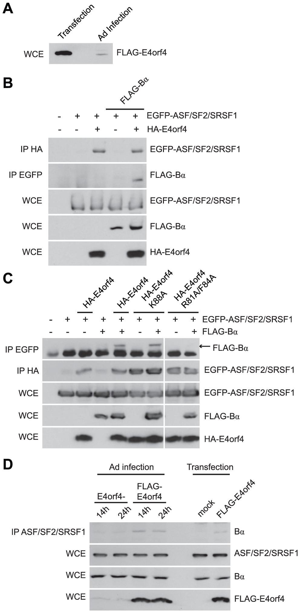 E4orf4 targets ASF/SF2/SRSF1 to PP2A<sup>B55α</sup>.