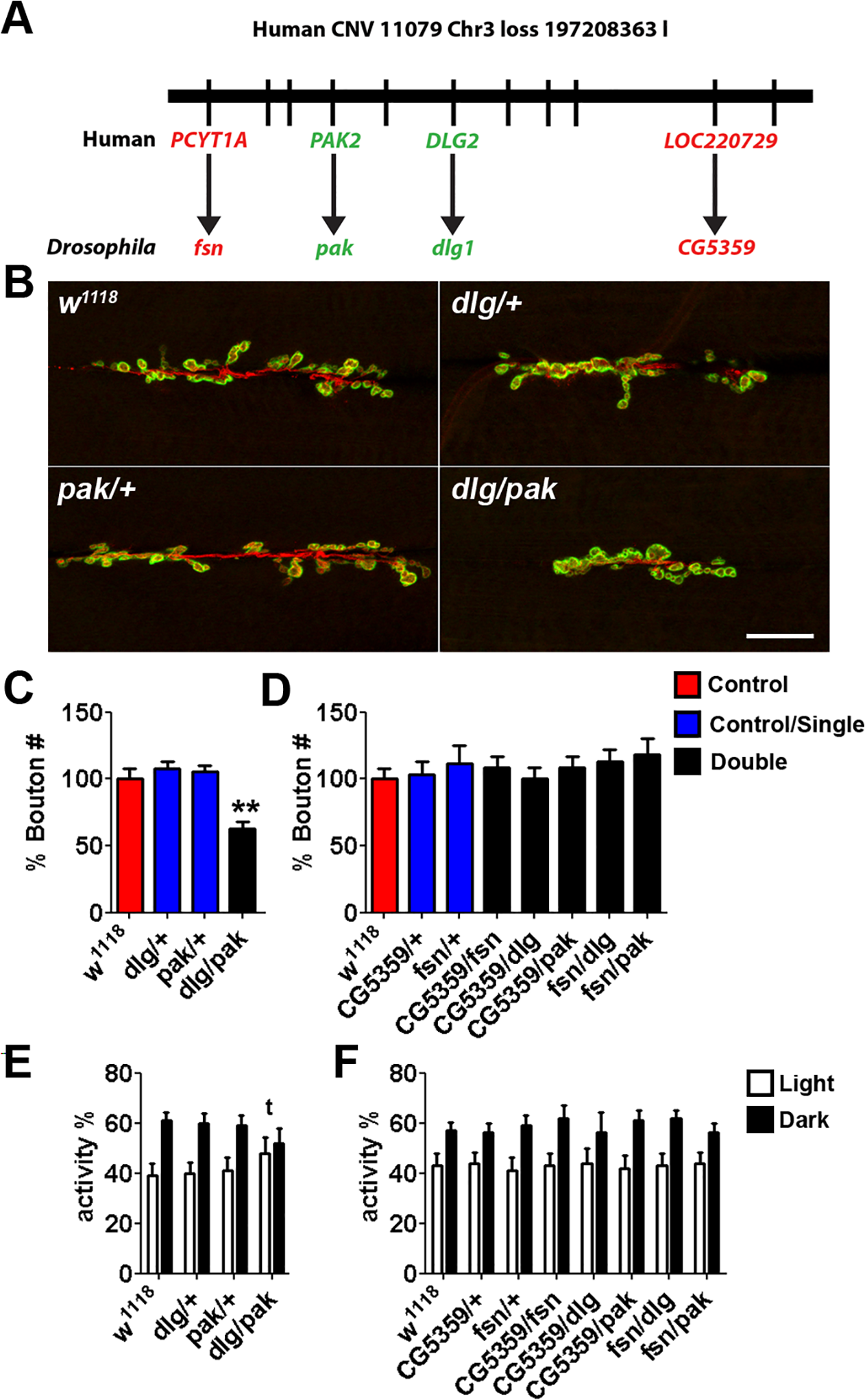 Synergistic interaction in <i>Drosophila</i> between <i>Dlg</i> and <i>Pak</i>, the orthologues of ASD-candidate genes from a <i>de novo</i> loss CNV 11079_chr3_197208363.