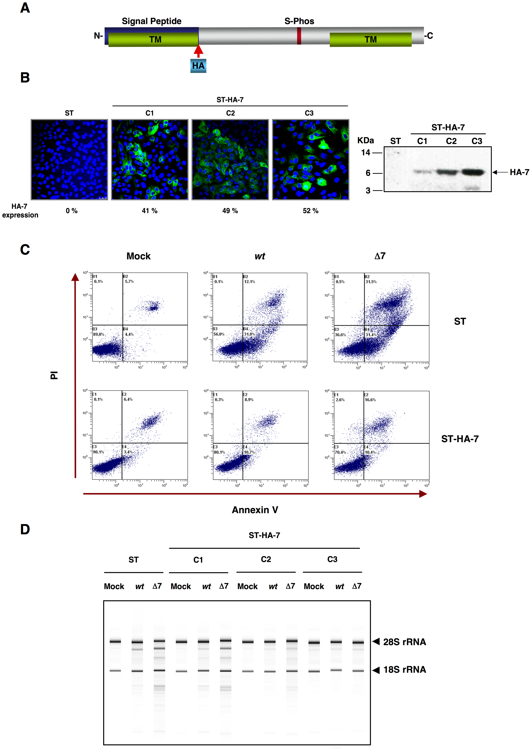 Complementation of rTGEV-Δ7 produced apoptosis and RNA degradation by protein 7 provided <i>in trans</i>.