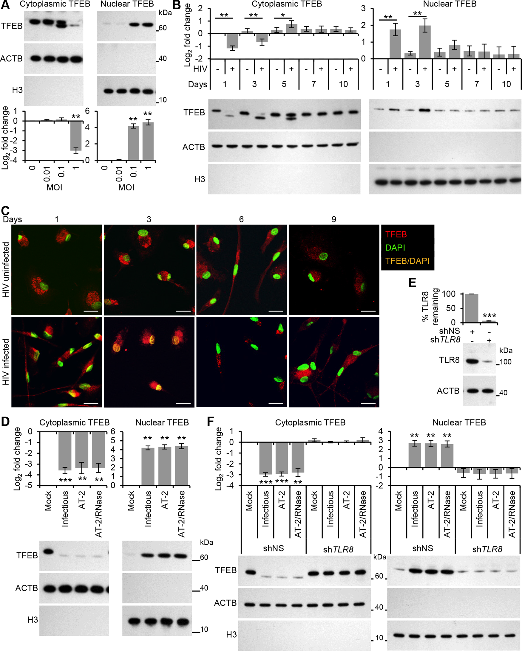 HIV induces TFEB nuclear localization in human macrophages through TLR8.
