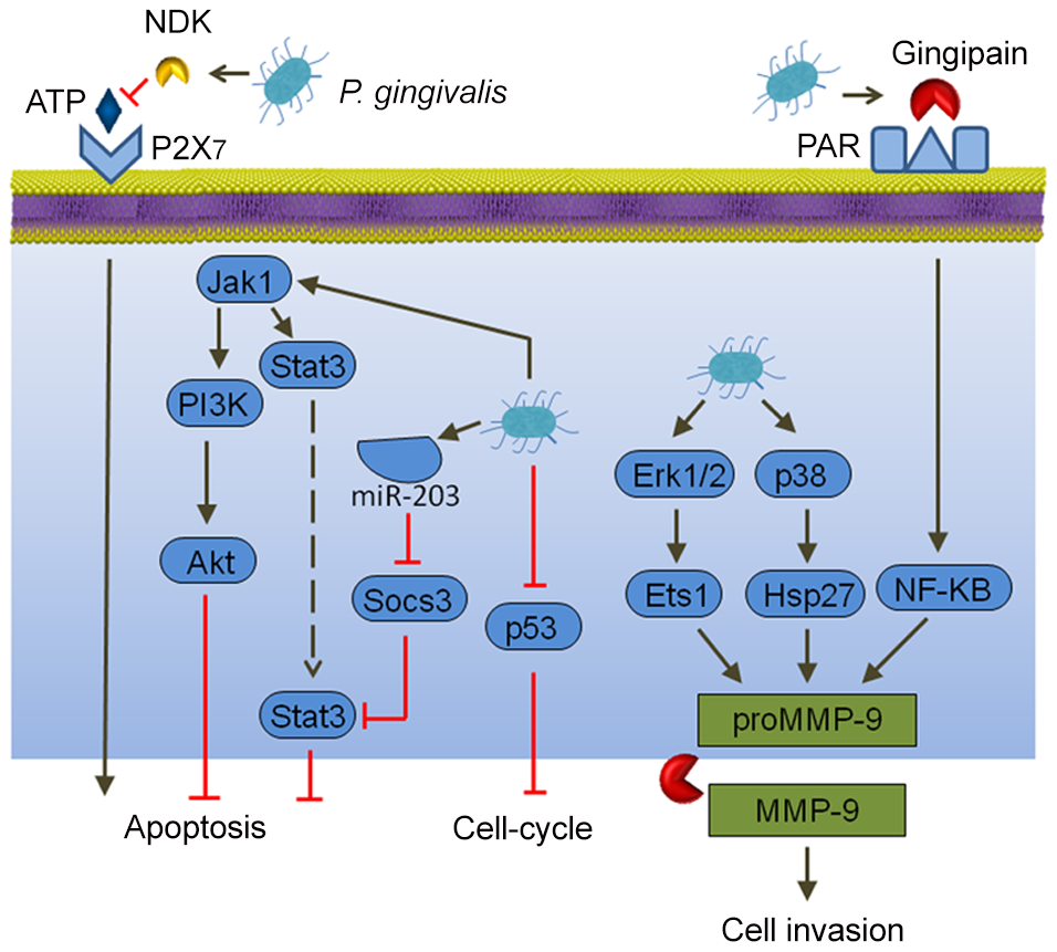 Interactions between <i>P. gingivalis</i> and epithelial cells that could produce an oncogenic phenotype.