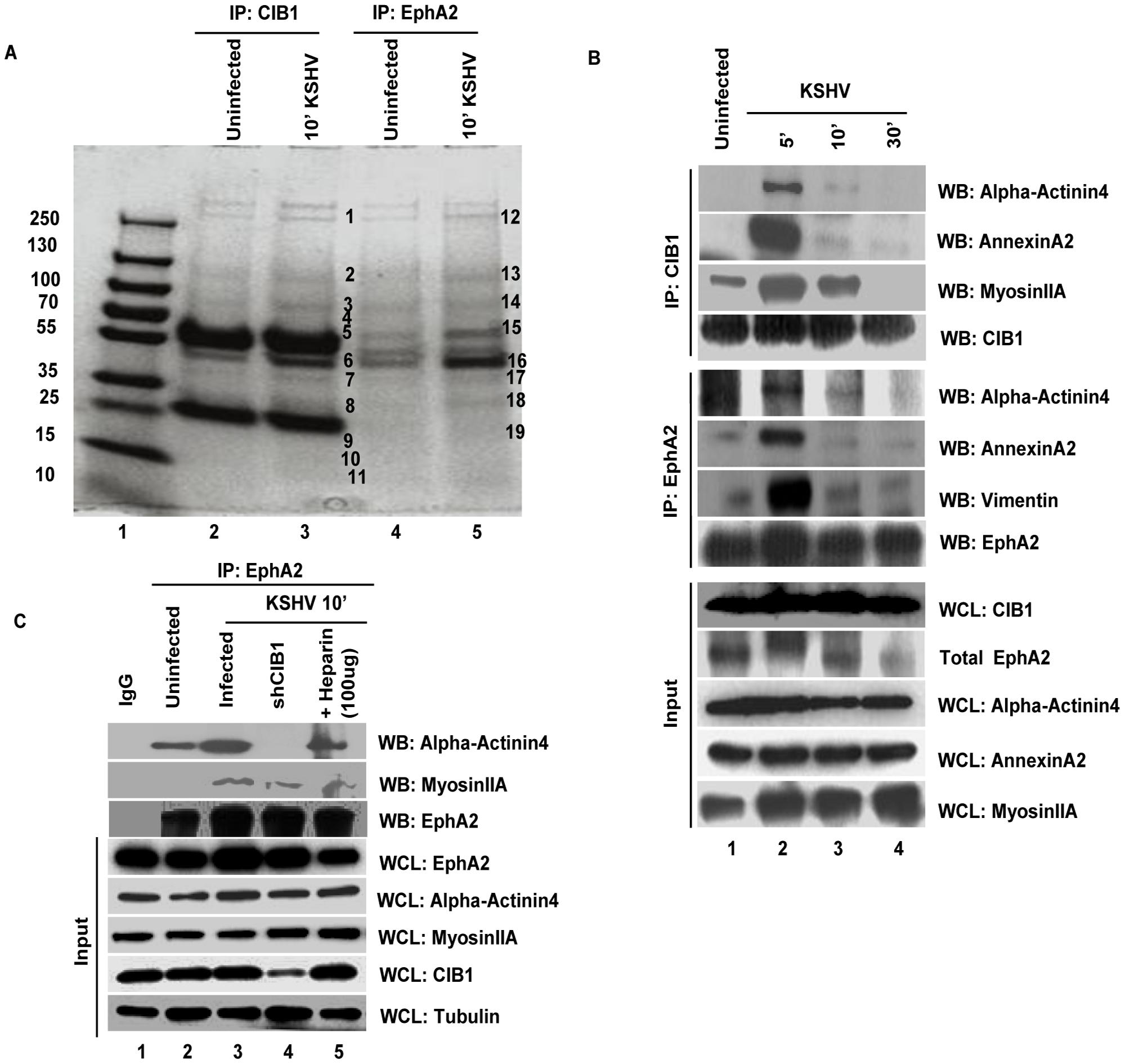Mass spectrometric analysis of immunoprecipitates of anti-CIB1 and EphA2 antibodies with lysates from KSHV infected HMVEC-d cells.
