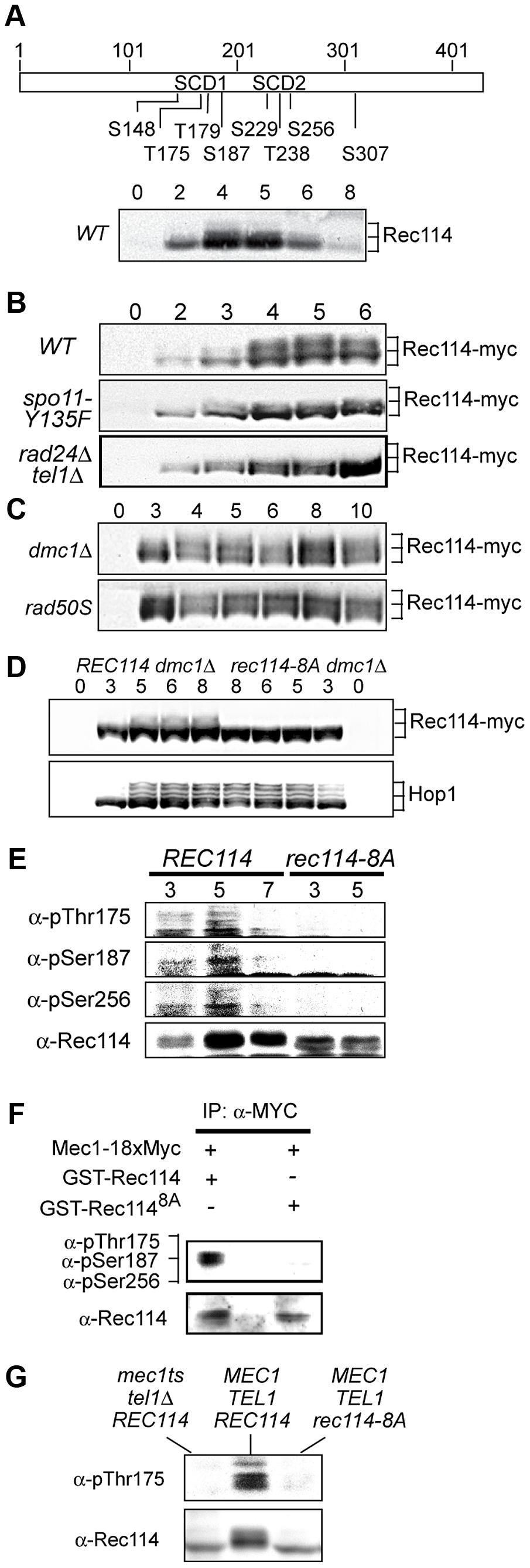 Rec114 is a DSB dependent Tel1/Mec1 target.