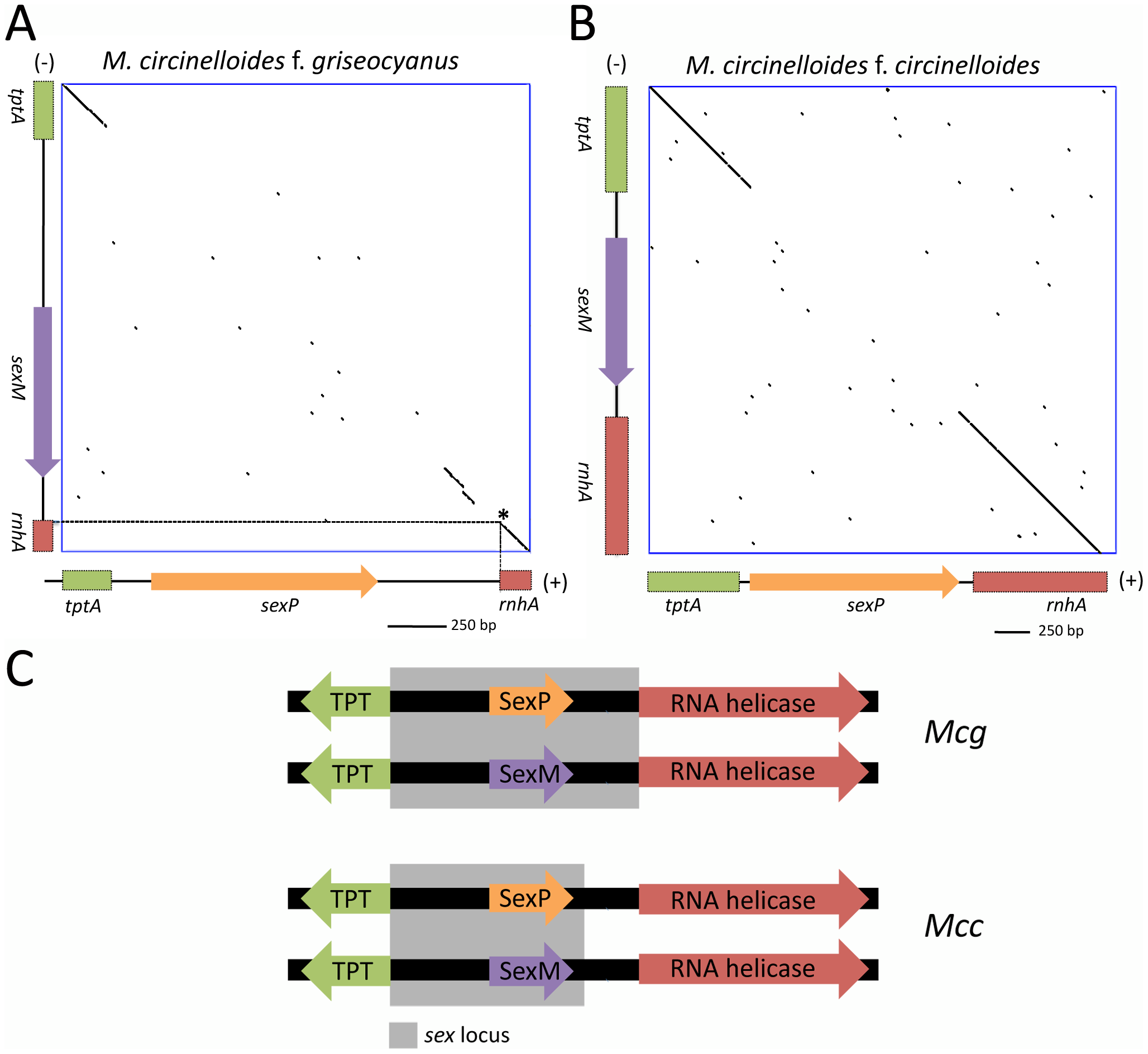 Defining the (+) and (−) <i>sex</i> locus alleles in <i>M. circinelloides</i> f. <i>griseocyanus</i> and <i>Mucor circinelloides</i> f. <i>circinelloides</i>.