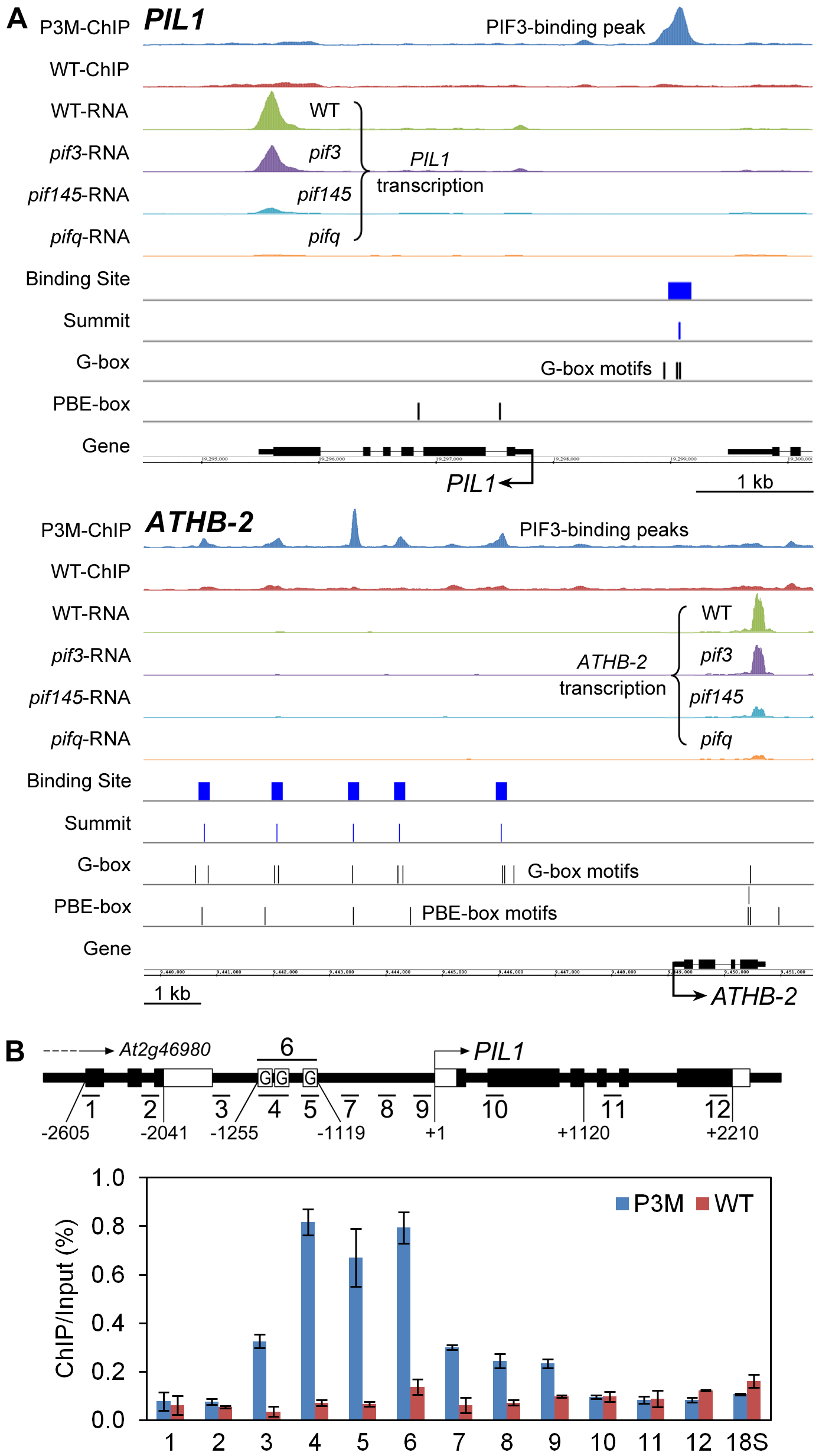 Compiled ChIP–seq and RNA–seq data identify <i>PIL1</i> and <i>ATHB2</i> as direct targets of PIF3 transcriptional regulation.
