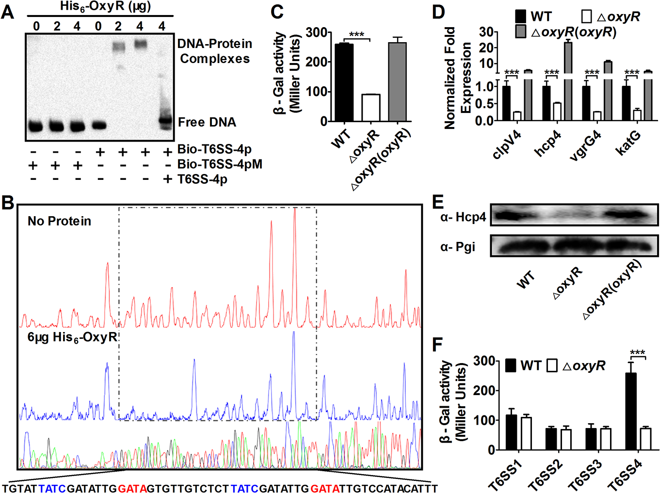OxyR directly activates T6SS-4 expression.