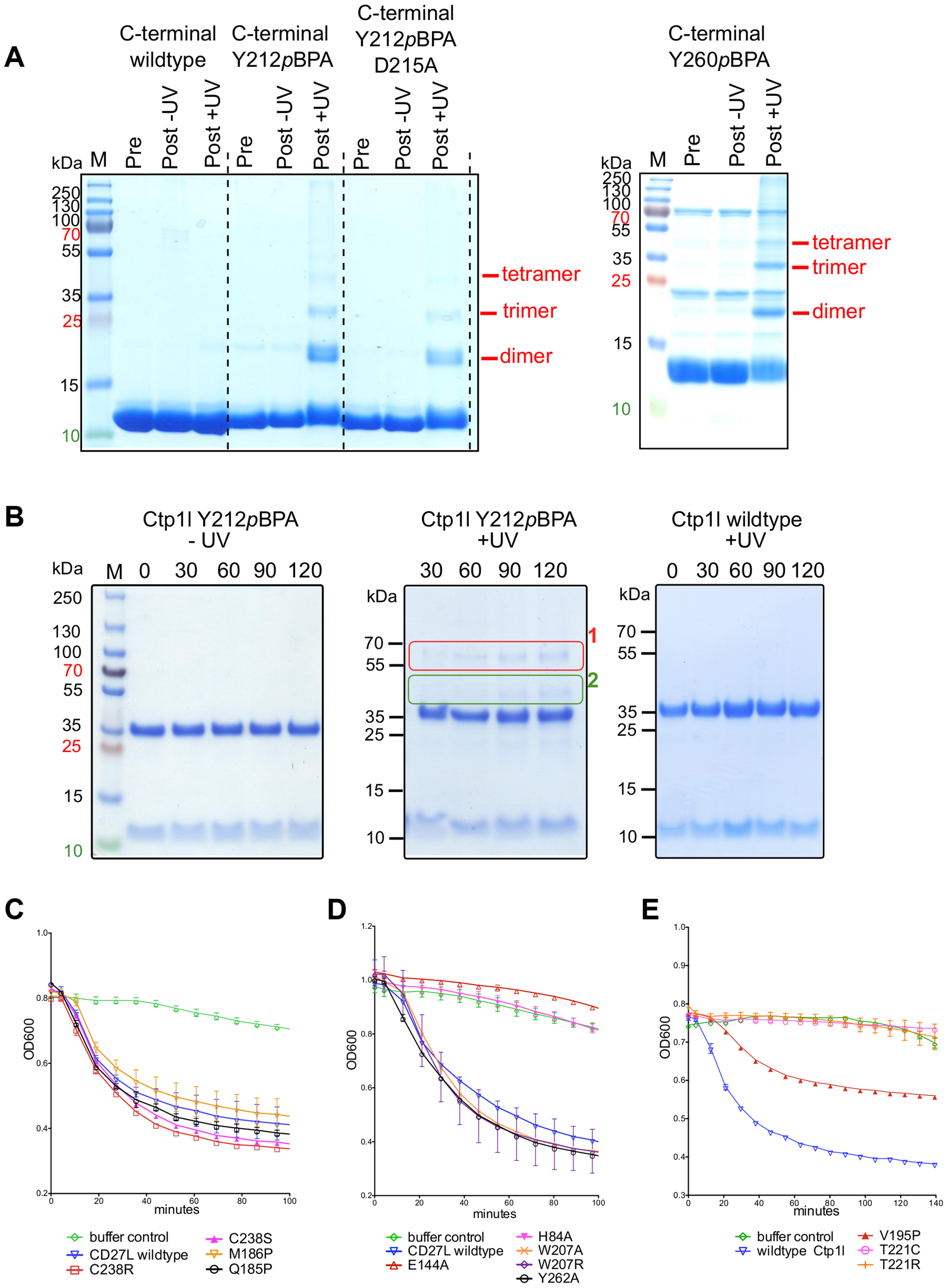 Cross-linking of oligomers and lytic activity of endolysins CD27L and CTP1L.
