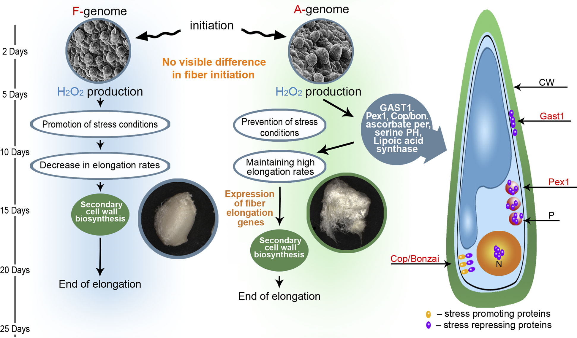 An Evolutionary and Development Model Describing Processes That Lead to the Formation of Spinnable Fiber