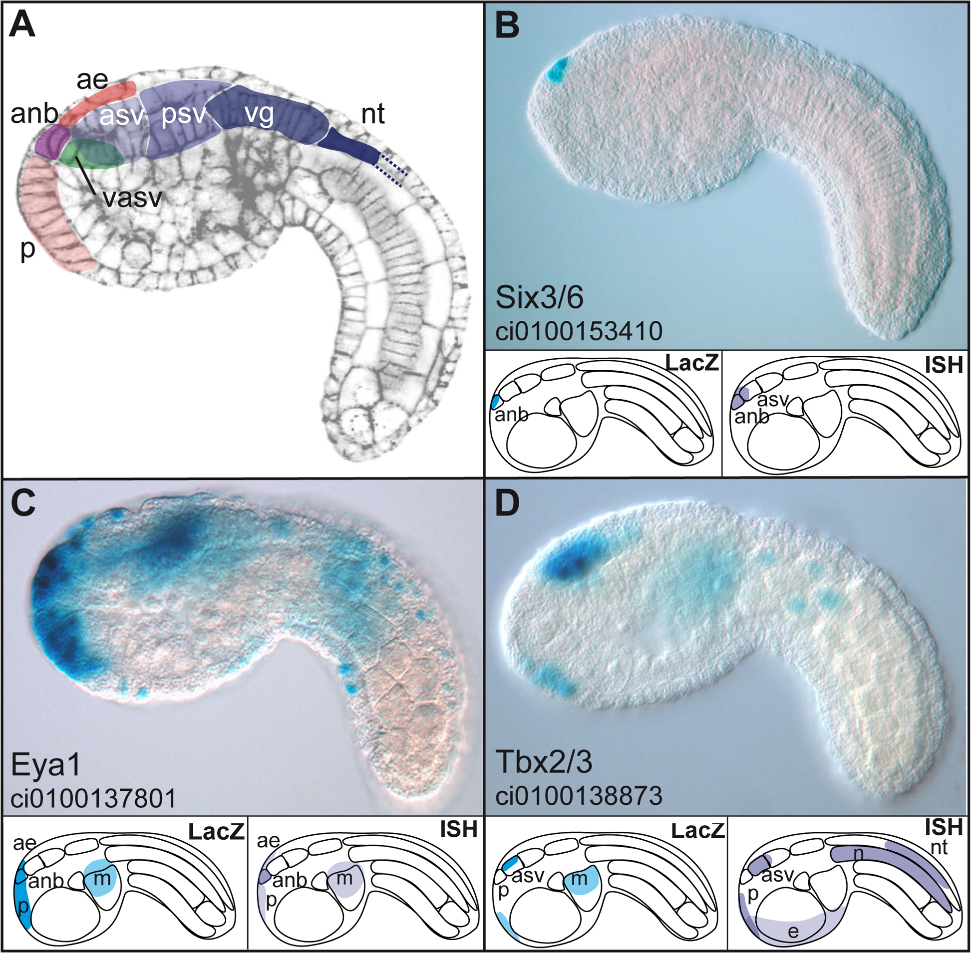 Enhancers with duplicated GATTA are active in the anterior region of the ascidian embryo.