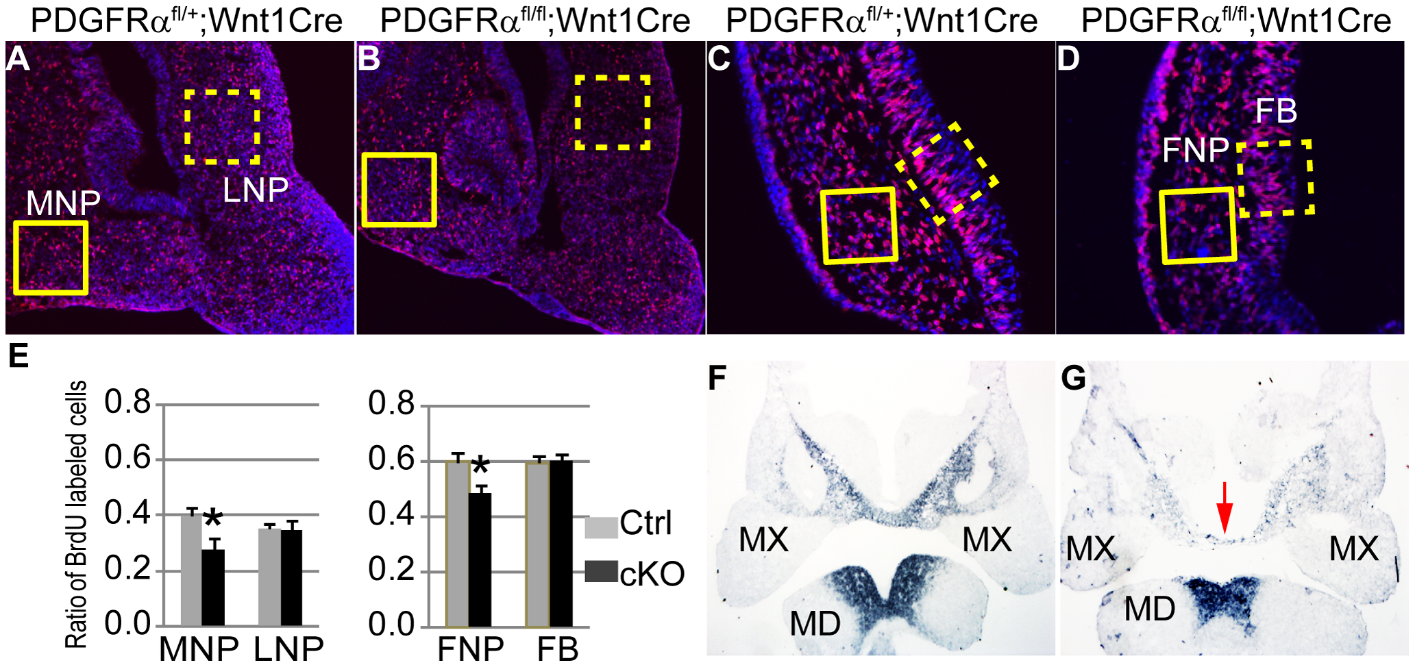 PDGFRα is essential to maintain cell proliferation and gene expression of MNP.