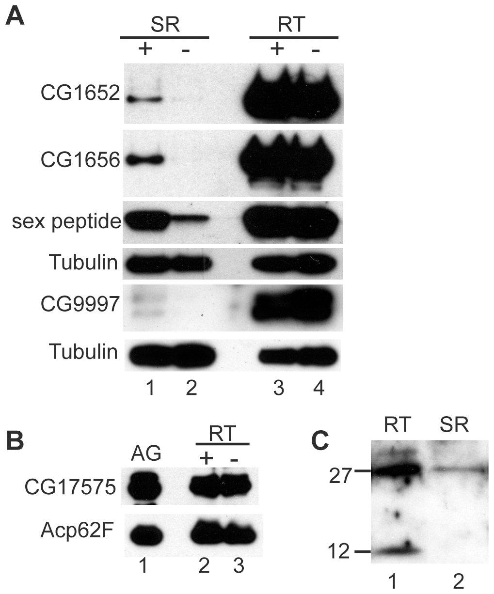 LTR proteins fail to accumulate in the seminal receptacle in the absence of seminase.