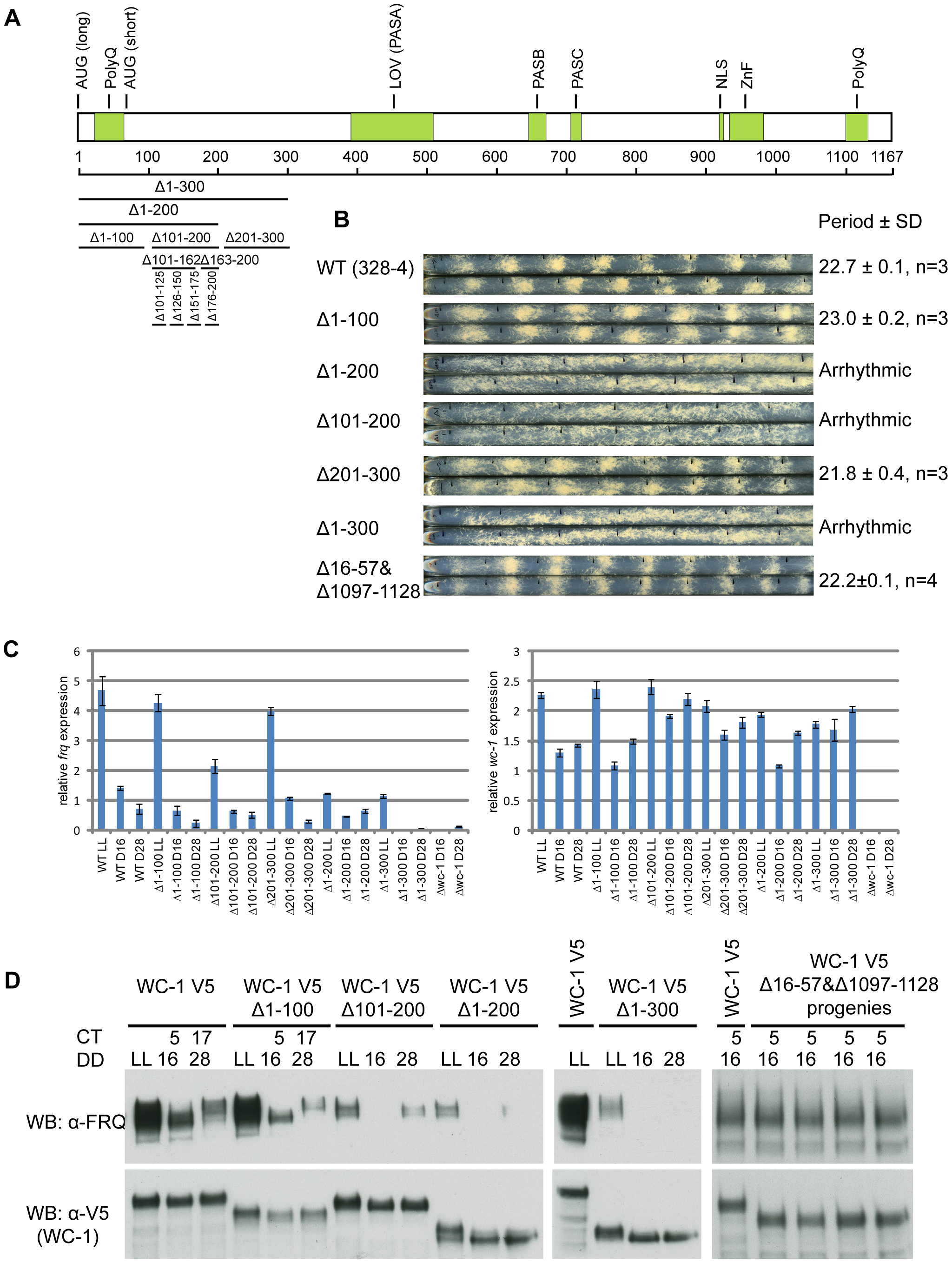 Identification of aa 100-200 as the transcriptional activation domain for WC-1.