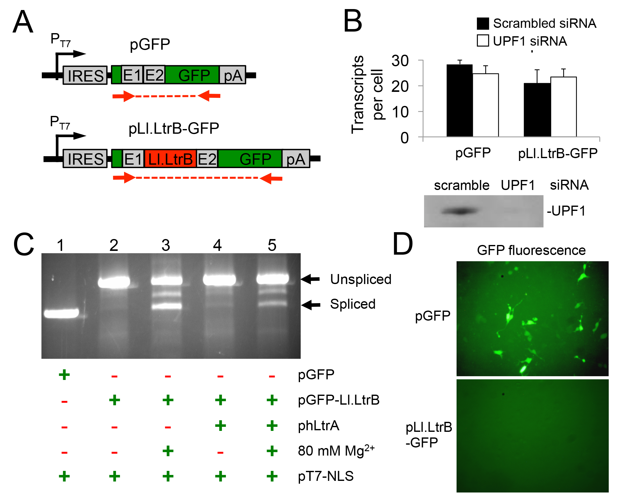 A T7 RNAP transcript containing the Ll.LtrB intron is not degraded by nonsense mediated decay in human cells and can be spliced after addition of Mg<sup>2+</sup> to the cell culture medium.
