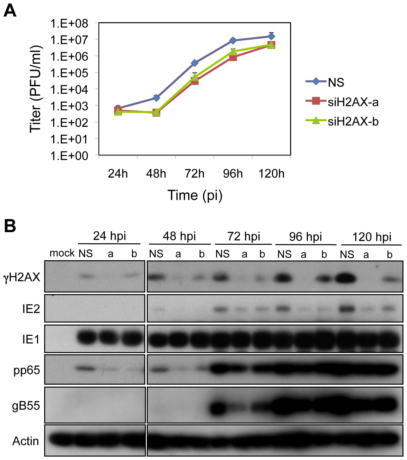 H2AX contributes to HCMV replication.