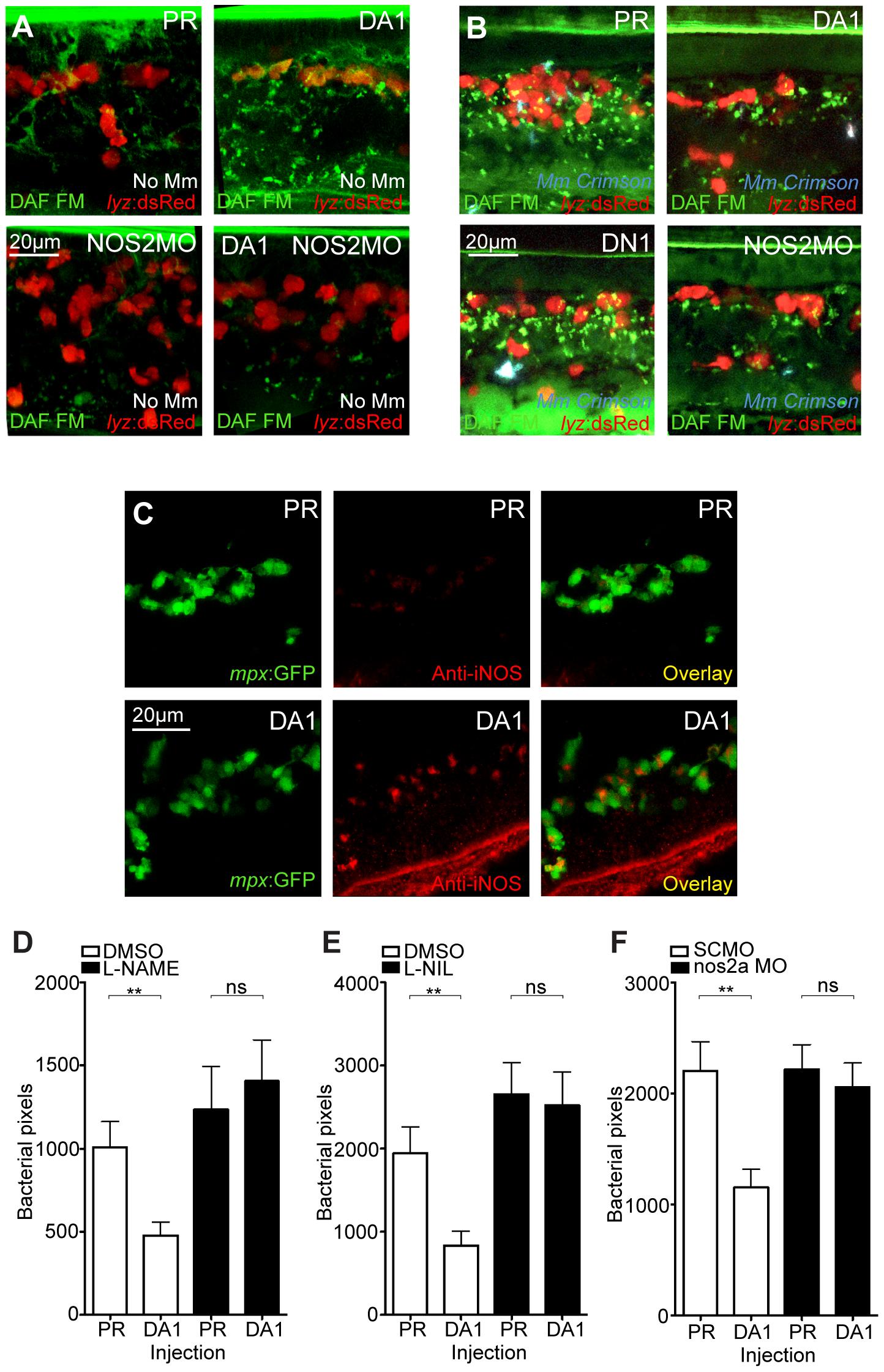 Hif-1α mediated anti-mycobacterial effect is iNOS dependent.