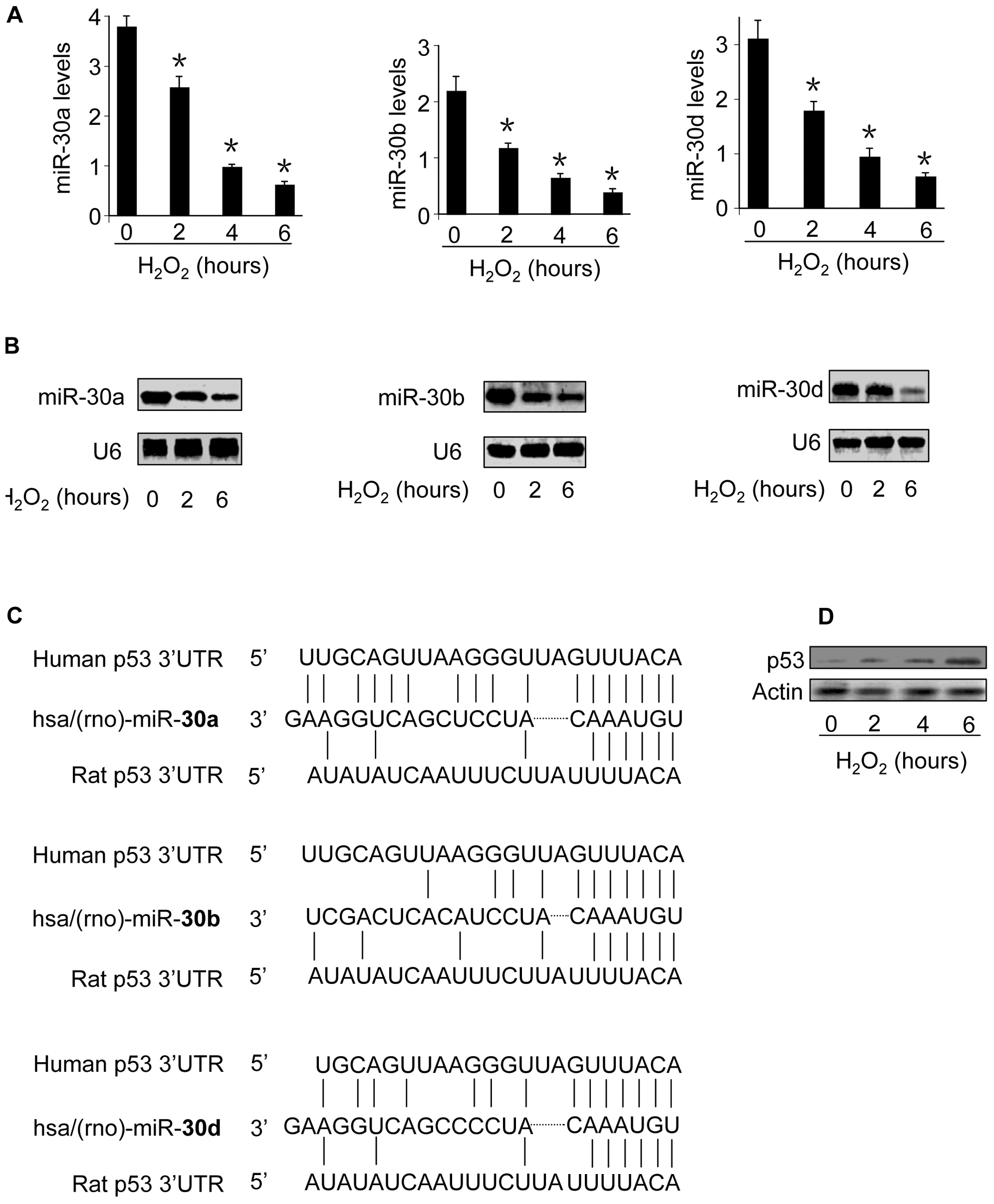 The levels of miR-30 family members are reduced whereas p53 is upregulated in response to oxidative stress.