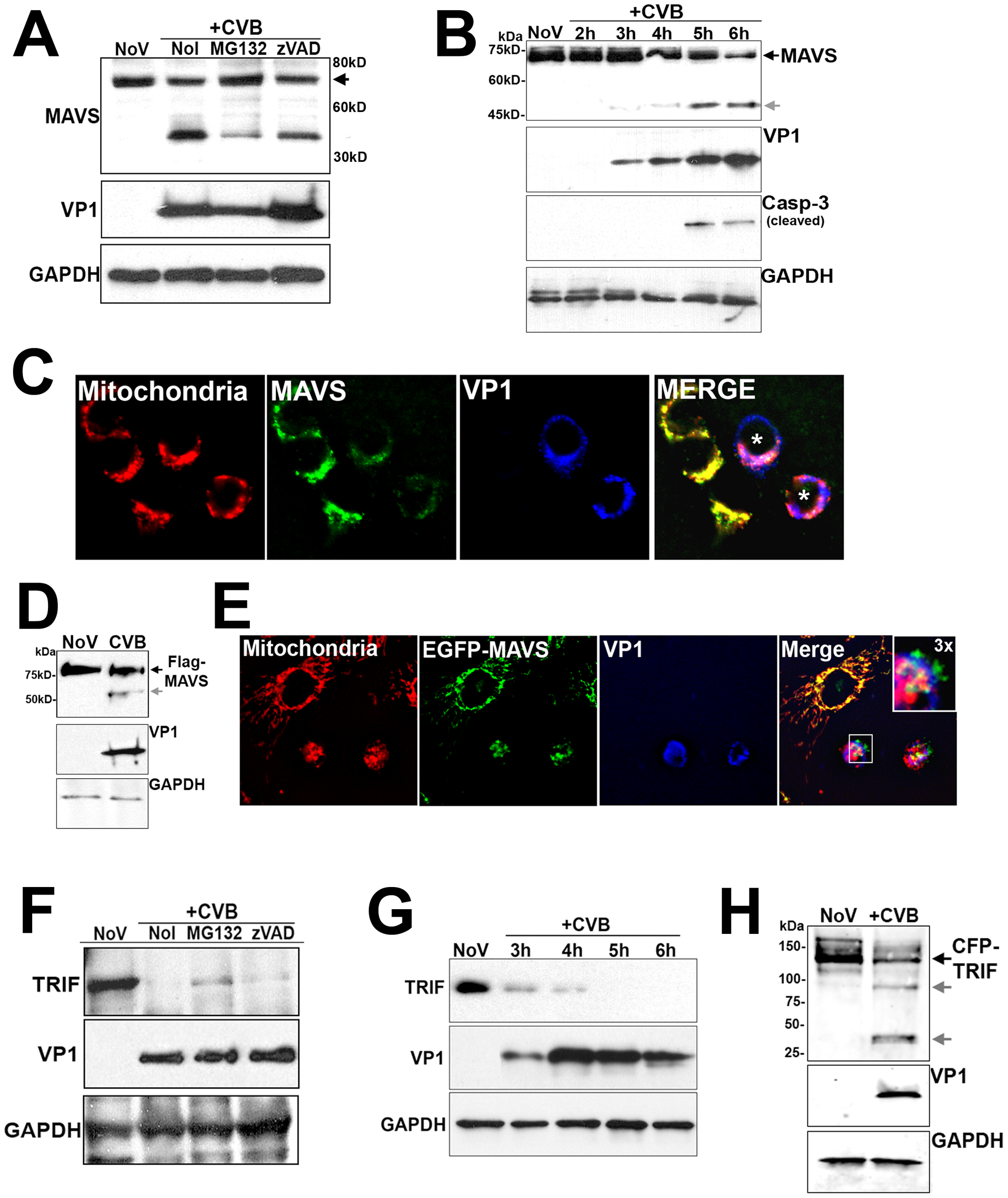 CVB3 infection induces MAVS and TRIF cleavage.