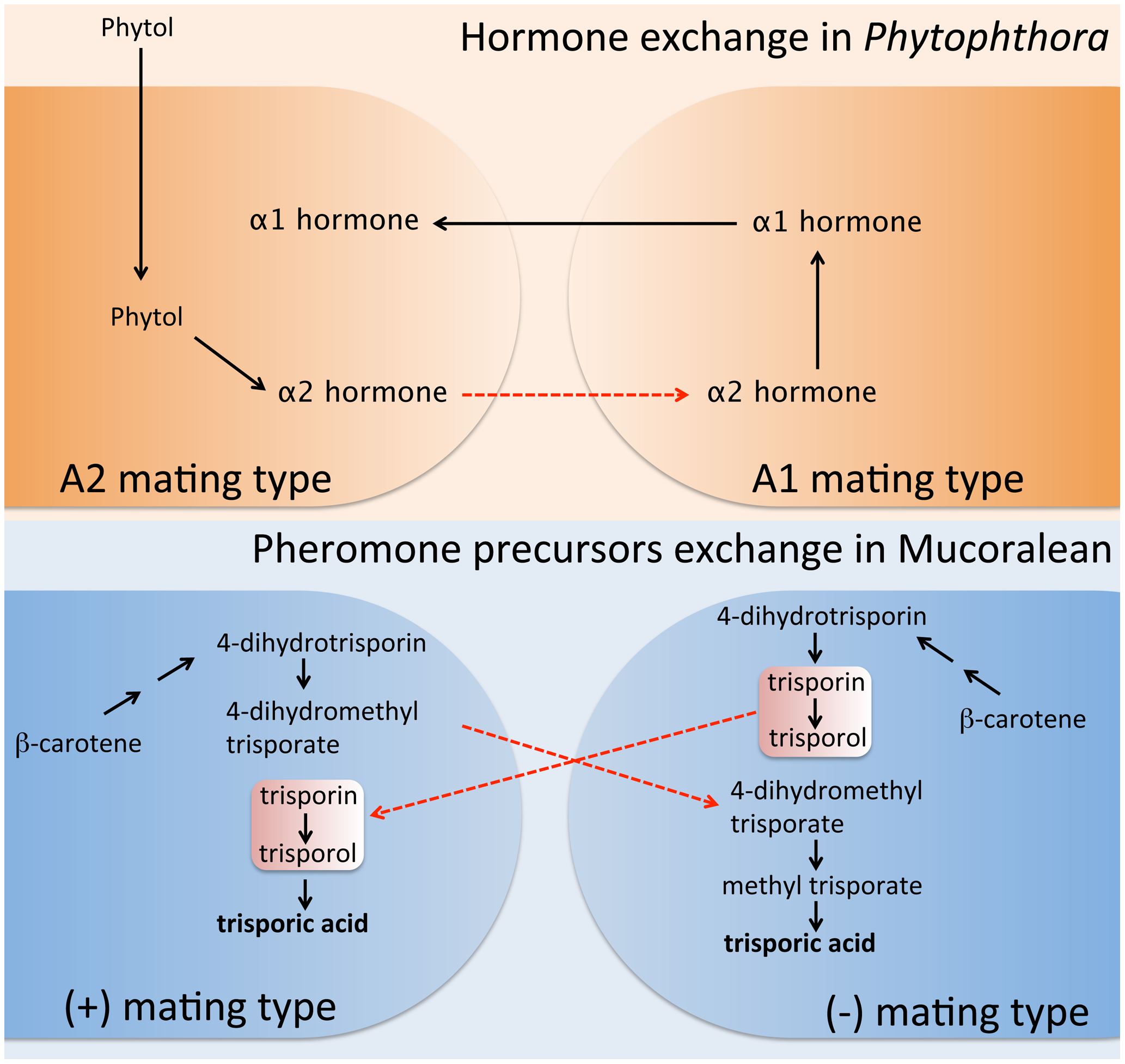 Sexual pheromone synthesis in <i>Phytophthora</i> and Mucoralean fungi.