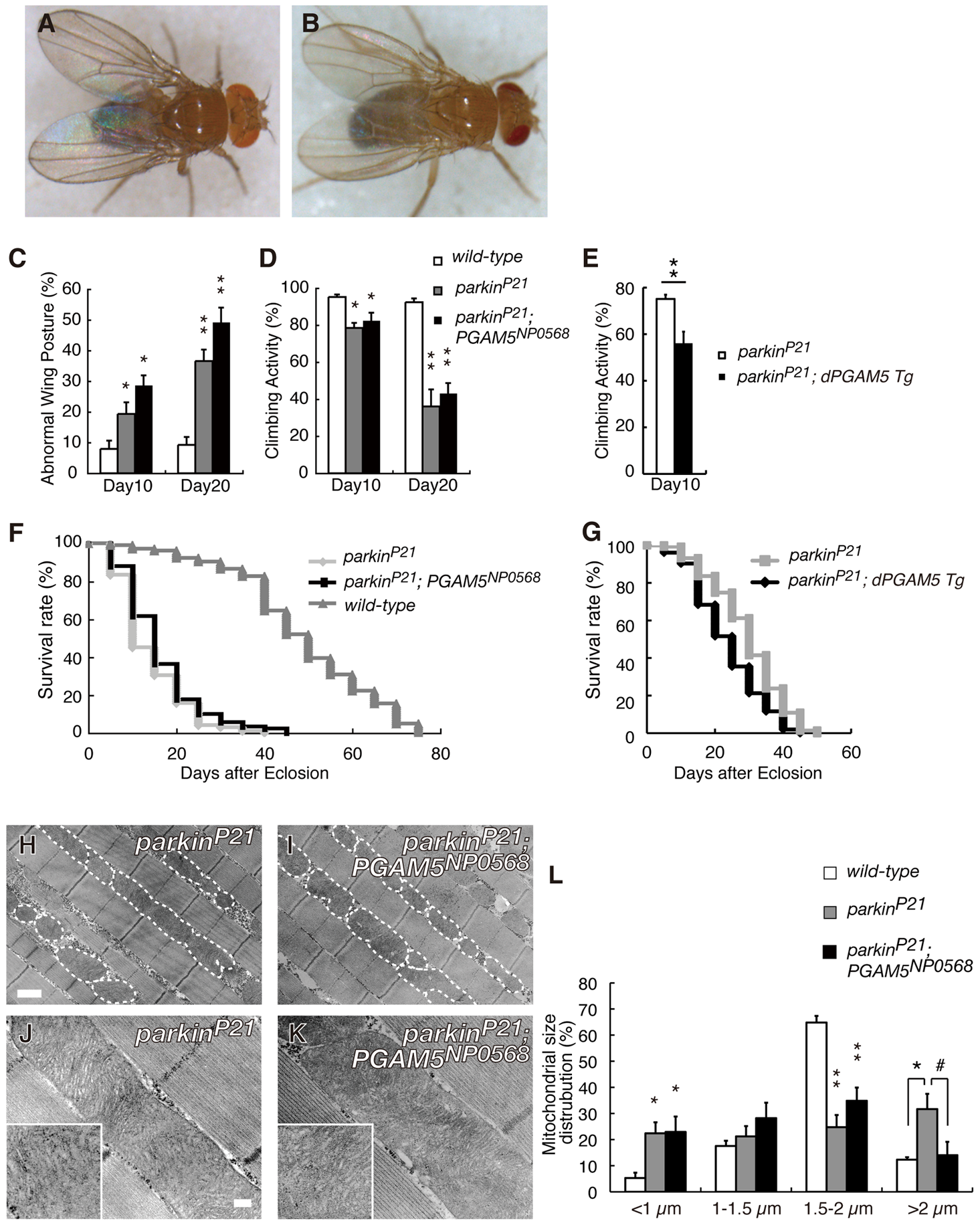 Disruption of <i>dPGAM5</i> fails to suppress the mitochondrial phenotype caused by <i>dParkin</i> inactivation in <i>Drosophila</i>.