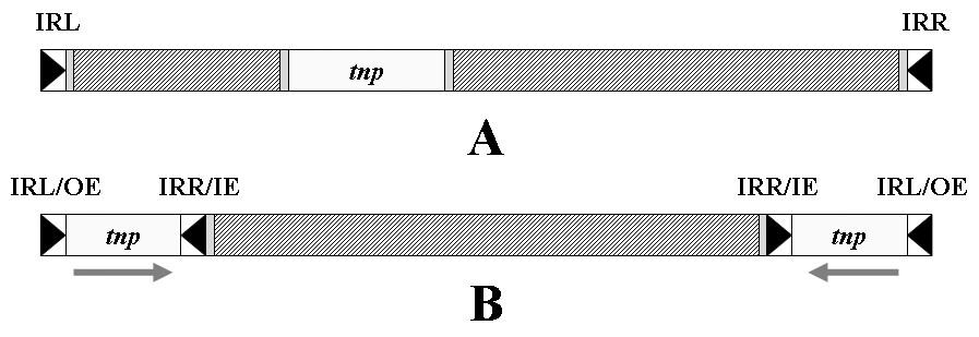 Transpozon. A – Obecná struktura transpozonu, tnp – gen transposázy, IRL – invertovaná repetice levá, IRR – invertovaná repetice pravá; B – kompozitní transpozon se dvěma opačně orientovanými inserčními sekvencemi na koncích, OE – vnější konec, IE – vnitřní konec. Šrafovaně jsou vyznačena místa obsahující genetickou informaci nepotřebnou k transpozici transpozonu (např. geny rezistence). <b>Fig. 5.</b> Transposon. A – General structure of the transposon, tnp – transposase gene, IRL – inverted repeatleft, IRR – inverted repeat right; B – composite transposon with two terminal inverted insertion sequences, OE – outer end, IE – inner end. There are shaded the parts containing genetic information that is not needed for the transposition of transposon (e.g. resistance genes).