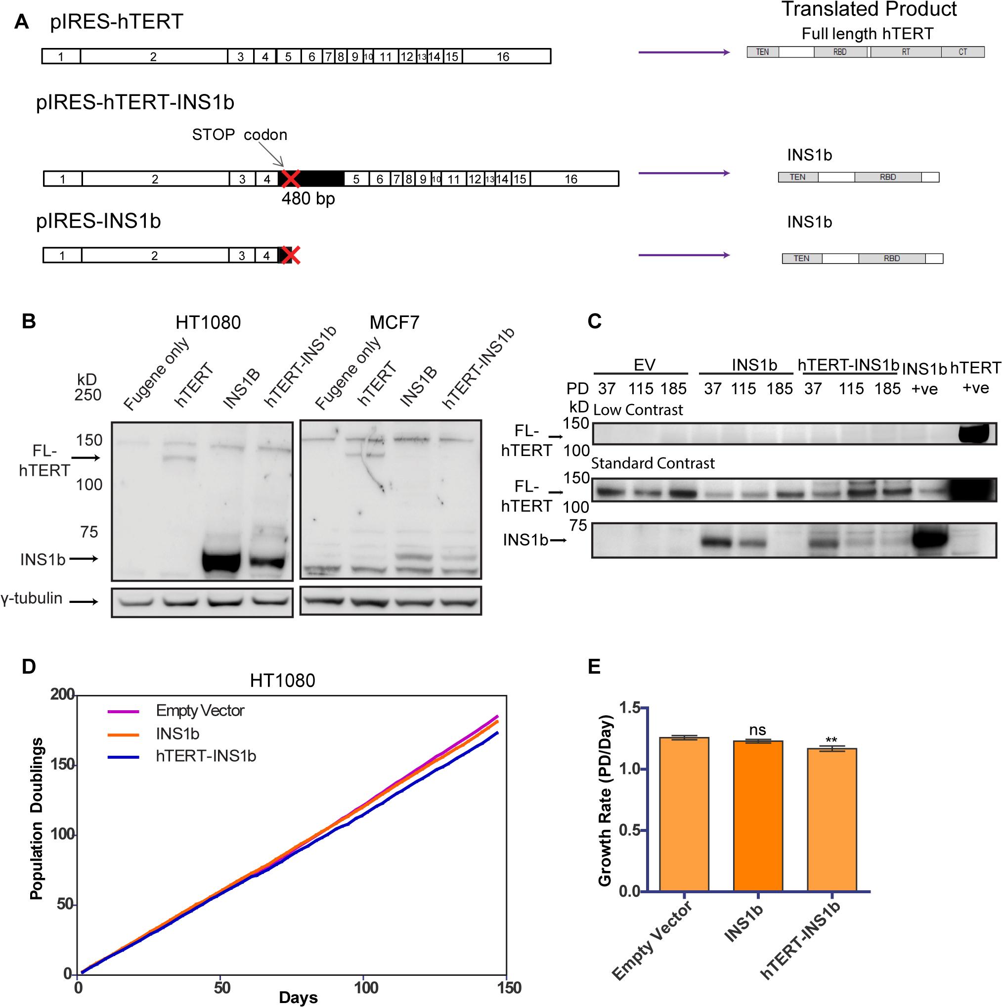 INS1b inhibits cell proliferation.