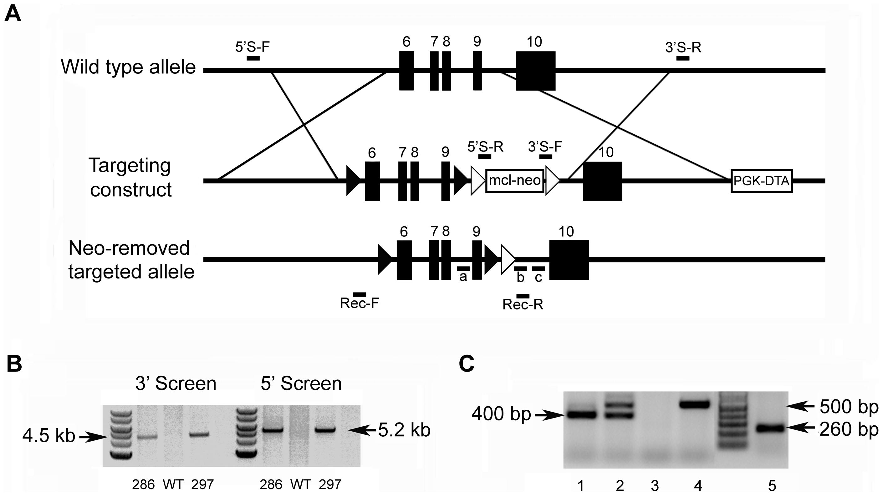 Generation of the <i>Fam20c</i> floxed alleles and <i>Fam20c</i> null alleles.