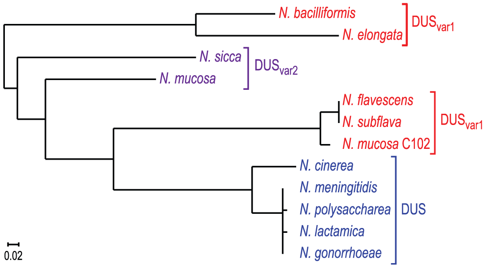 Human <i>Neisseria</i> species harbouring different DUS variants have different cognate ComPs.