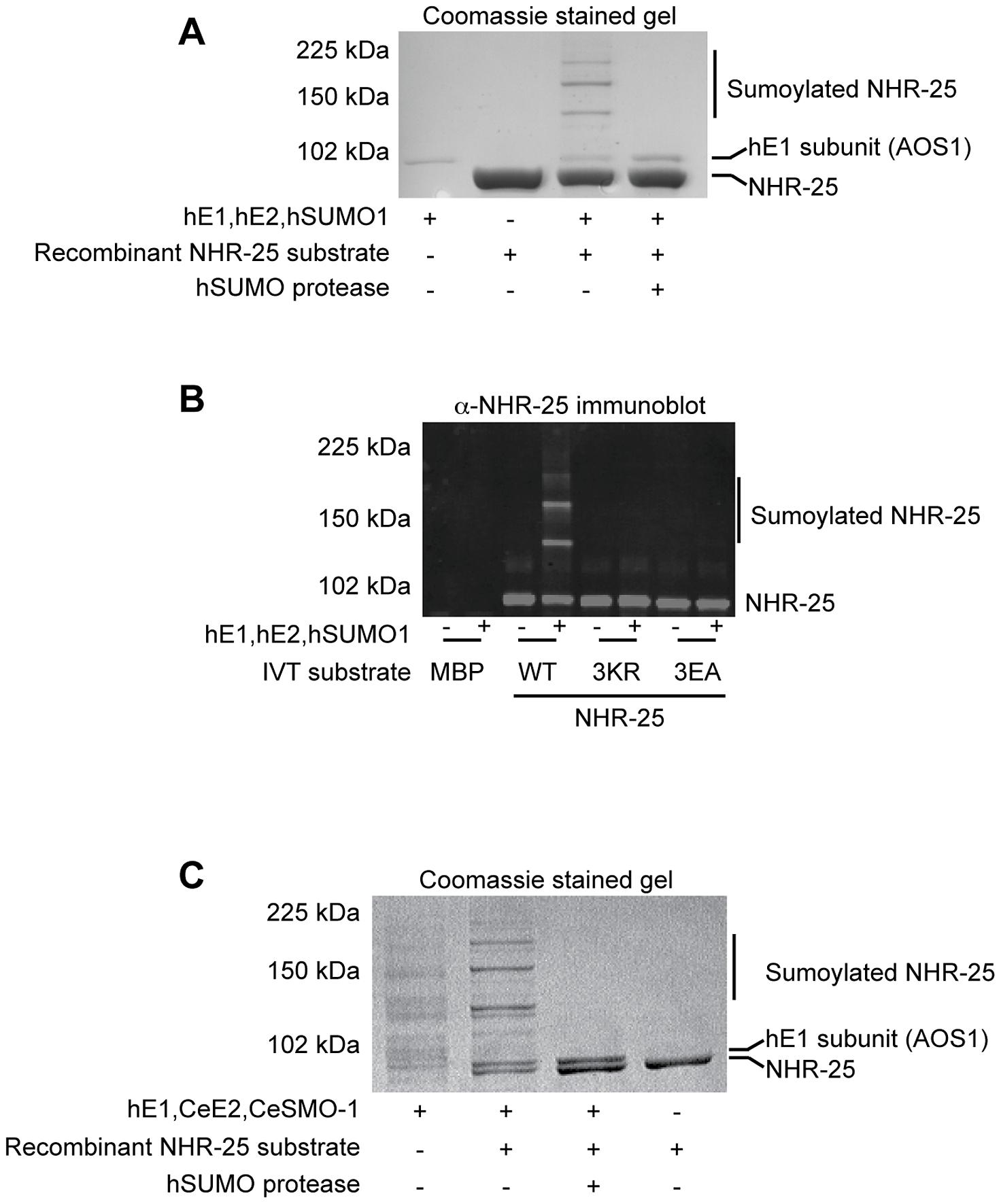 <i>In vitro</i> sumoylation of NHR-25.