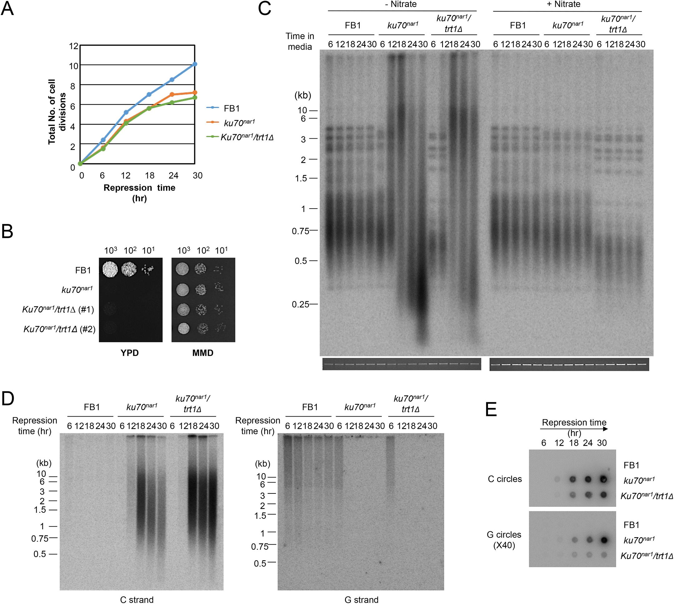 The growth and telomere phenotypes <i>Ustilago maydis ku</i> mutants do not depend on telomerase.