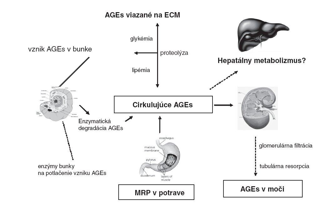 Metabolizmus AGEs v organizme a ich vylučovanie. (AGEs - advanced glycation end products, produkty pokročilej glykácie, MRP – Maillard reaction products, produkty Maillardovej reakcie, ECM – extracelulárna matrix) Koncentrácia cirkulujúcich AGEs je podmienená ich vznikom v telesných tekutinách a tkanivách, väzbou na extracelulárnu hmotu, prívodom MRP v strave a ich elimináciou formou enzymatickej degradácie, renálnej exkrécie ako i možného (zatiaľ diskutovaného) hepatálneho metabolizmu.