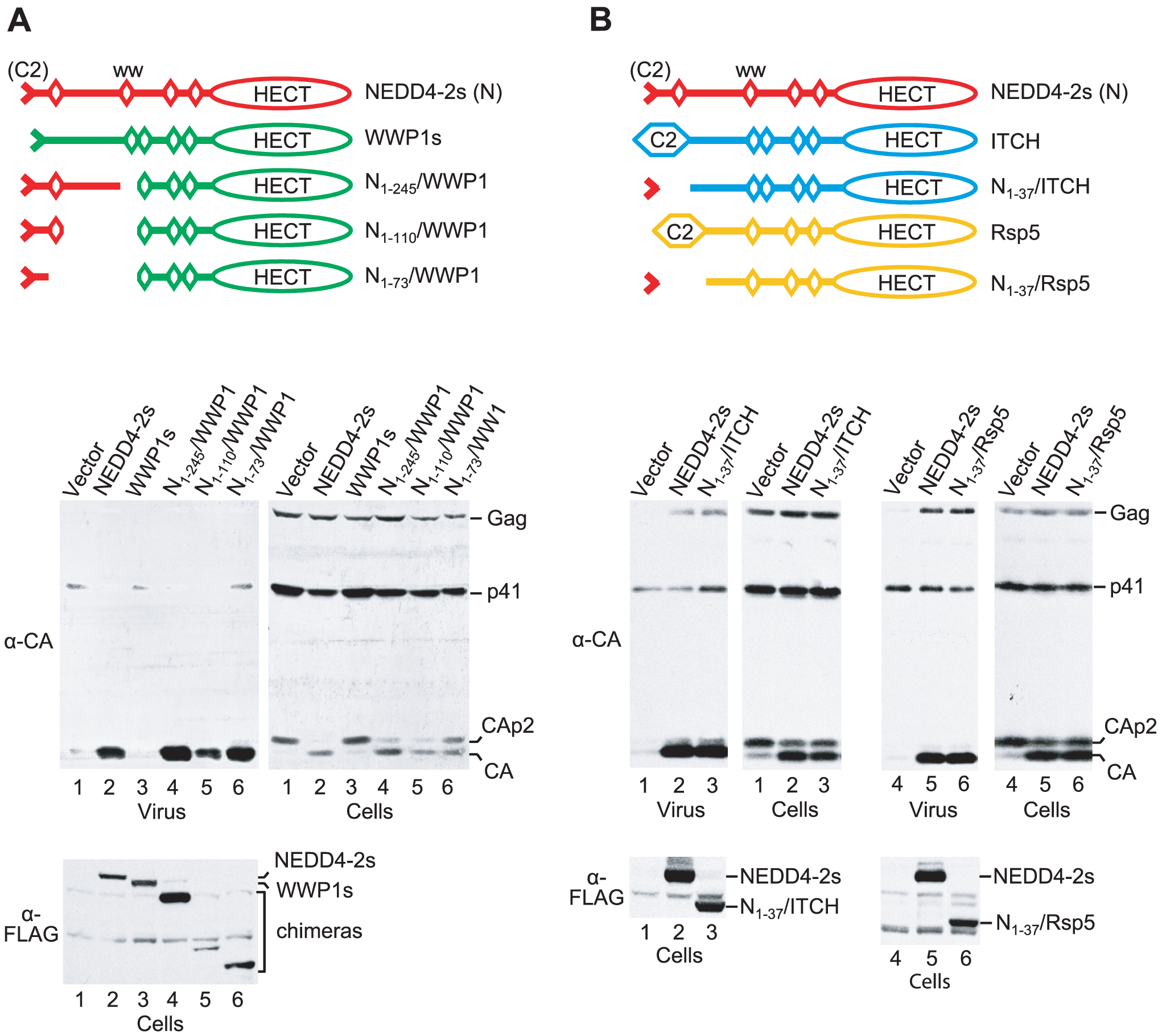 The residual C2 domain of NEDD4-2s is sufficient to transfer the ability to rescue HIV-1<sub>ΔPTAPP</sub>.