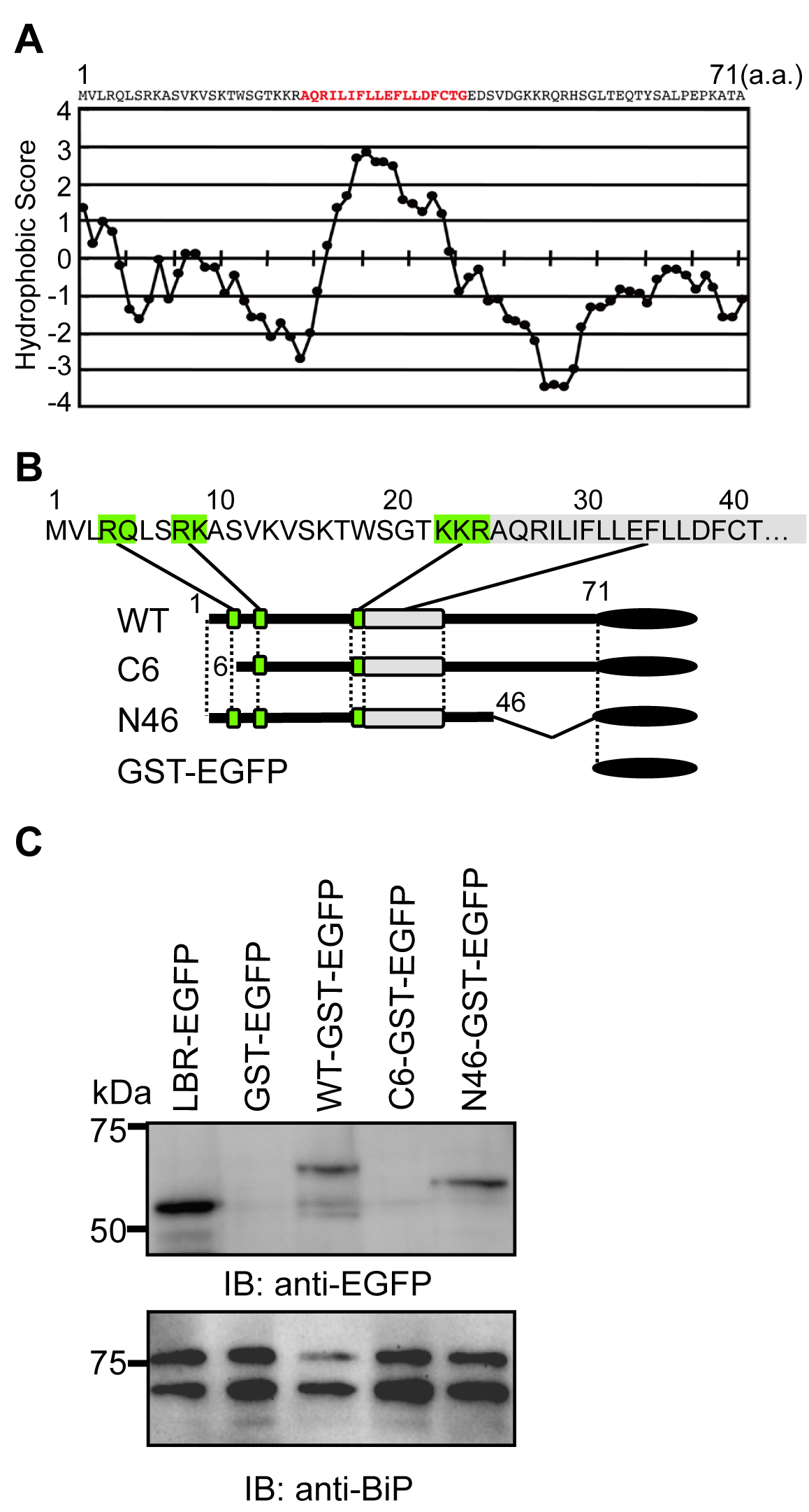 The N-terminus of agnoprotein is necessary for targeting to the ER.