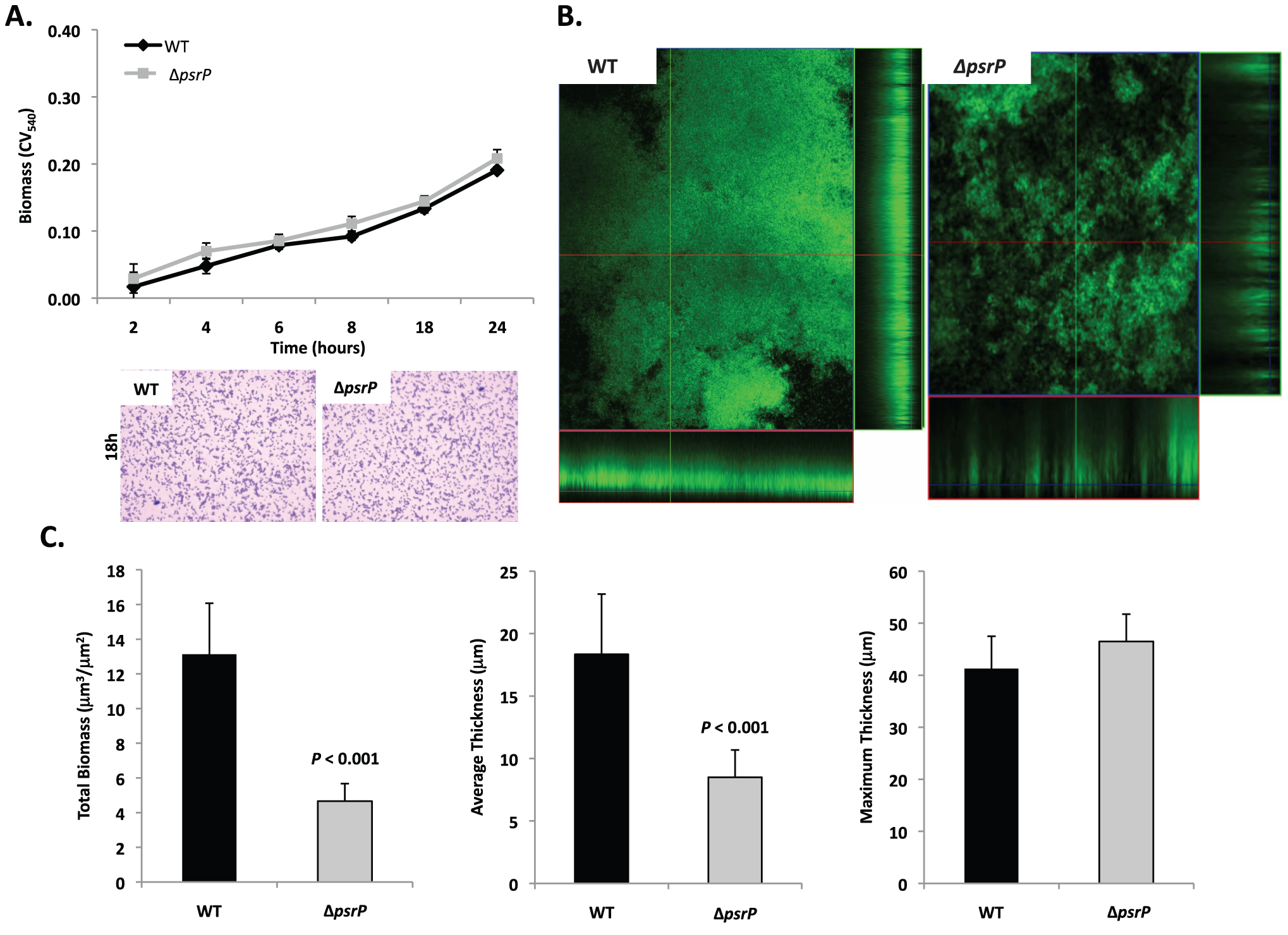 Deletion of <i>psrP</i> alters bacterial interactions in mature biofilms but not during early biofilm attachment.