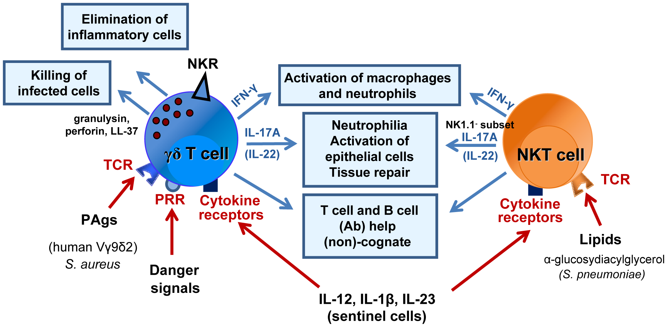 Mode of activation and role of γδ T cells and NKT cells during bacterial respiratory infections.